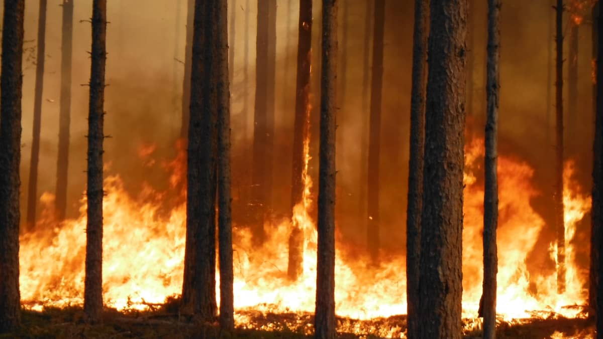 Metsähallituksen ennallistamispoltto eli hallittu metsäpalo.