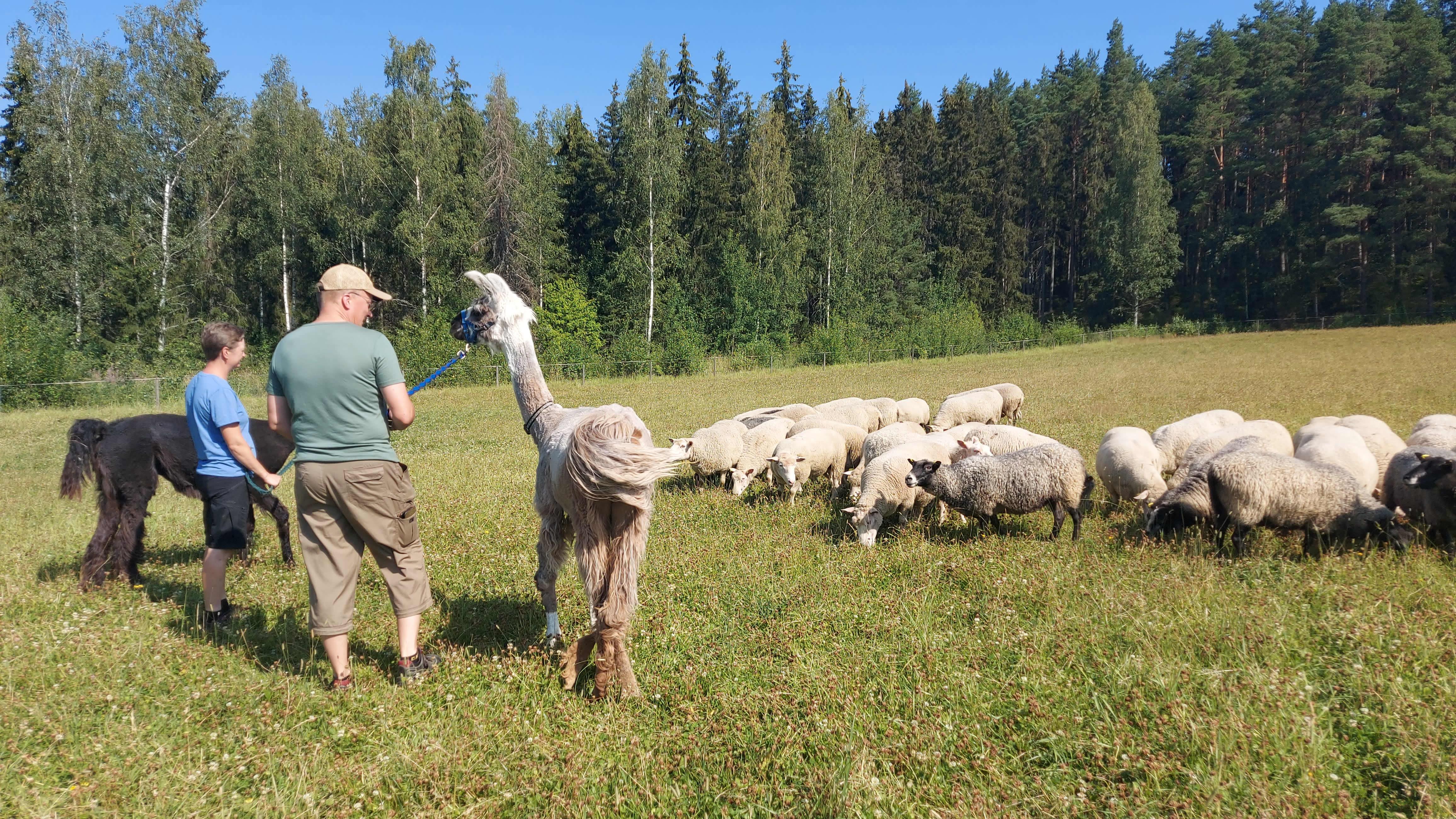 Nainen ja mies taluttavat kahta laamaa lammaslauman vieressä pellolla.