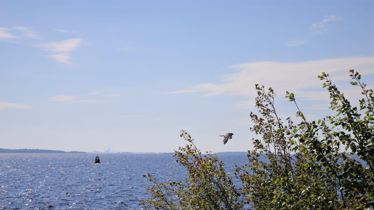 Naurulokki lentää Perämeren rannikolla.