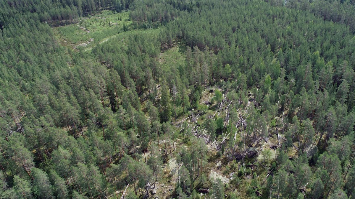 Asta-myrskyn (2010) kaatamia puita yhä paikallaan Sulkavalla heinäkuussa 2020.