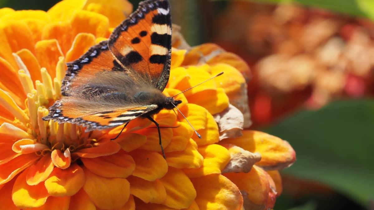 Kuvassa on kukassa oleva perhonen.