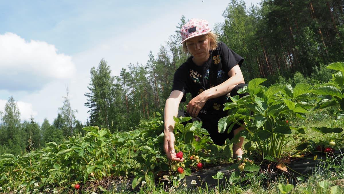 Marjanviljelijä Sanna Ketolainen Kesälahdelta on kumartuneena mansikkapenkin viereen.