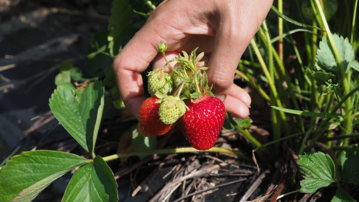 Käsi kannattelee kasvissa kiinni olevia mansikoita.