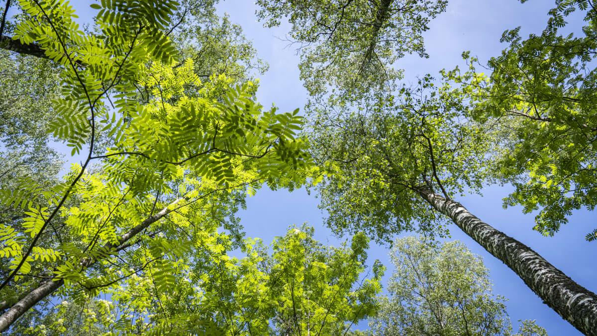 korkeat lehtipuut