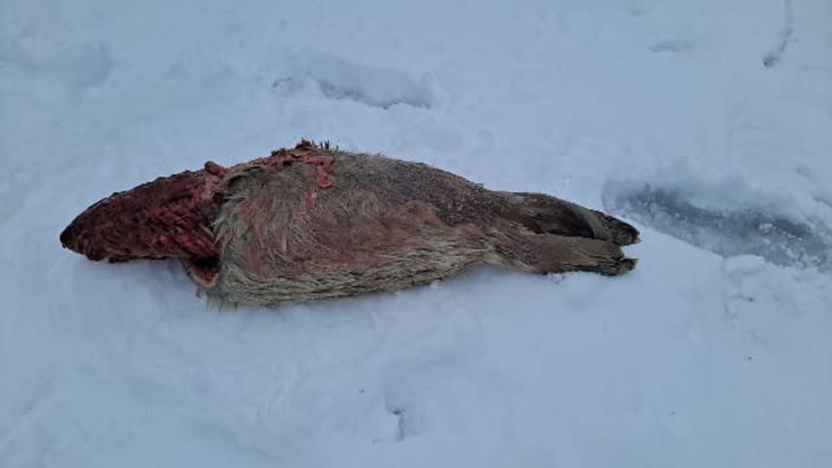 Kuollut kuutti jäällä