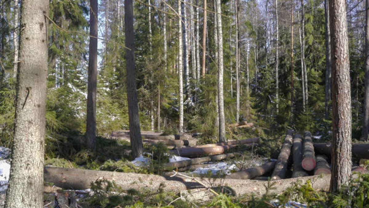 Jatkuvan kasvatuksen menetelmällä harvennettua metsää Lopella. Suurimpia tukkipuita on pinottuna, pienempi puusto jätetty kasvamaan.