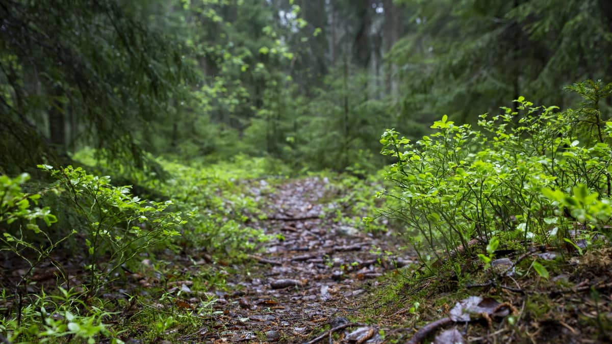 Mustikanvarpuja Helsingin keskuspuistossa