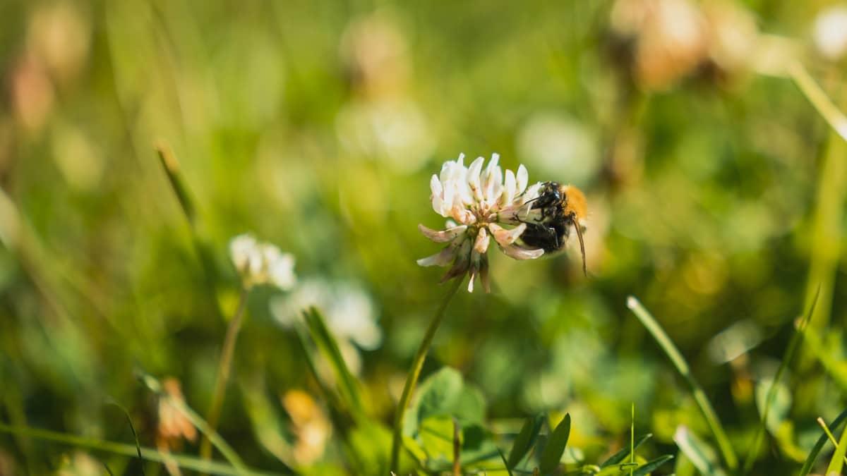 Kimalainen etsii kukasta ravintoa.