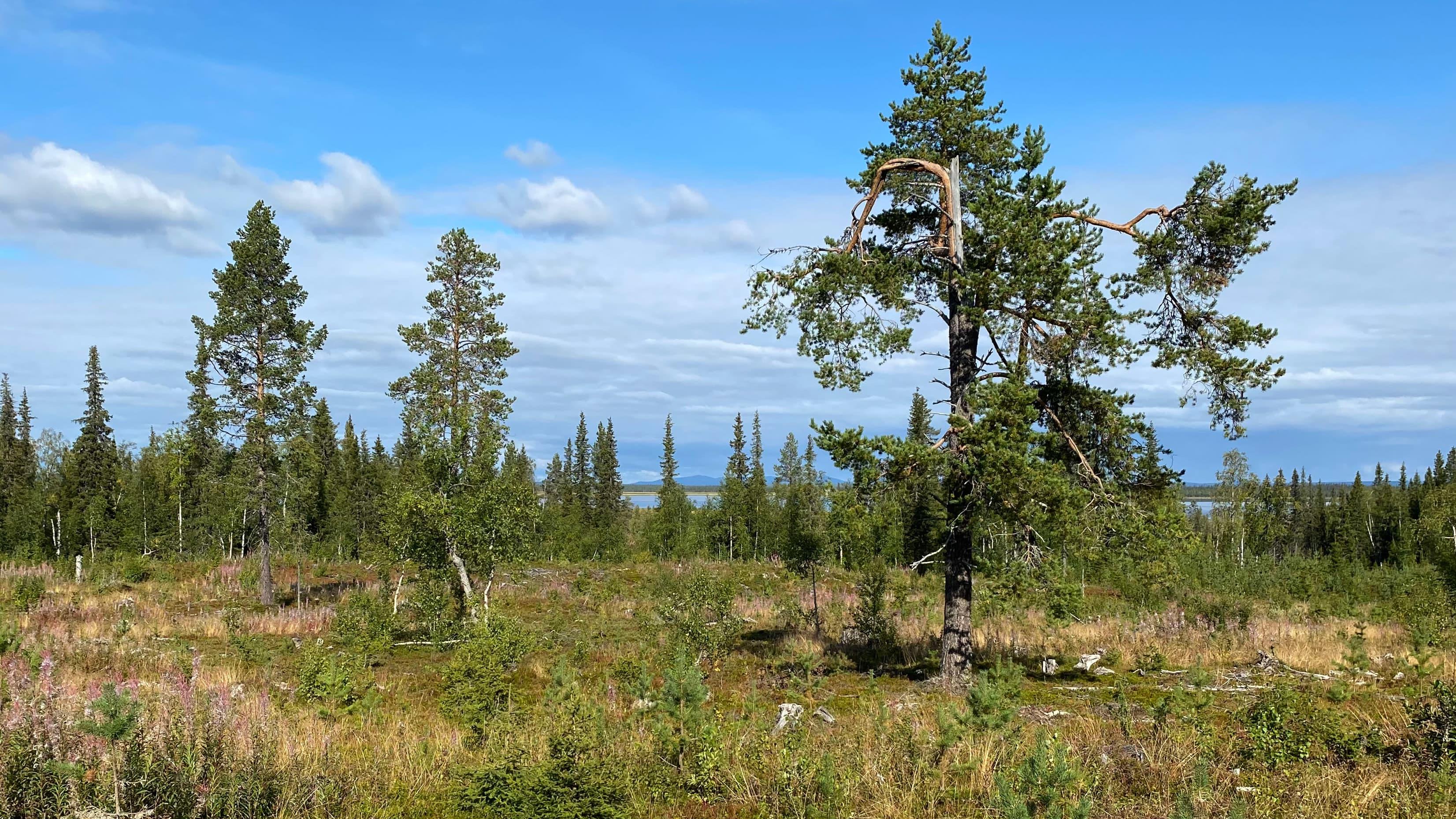 Hakkuuaukio Sodankylässä, Mäntypään tien varressa,  puiden takaa siintää Lokan tekojärvi ja Nattastunturin siluetti.