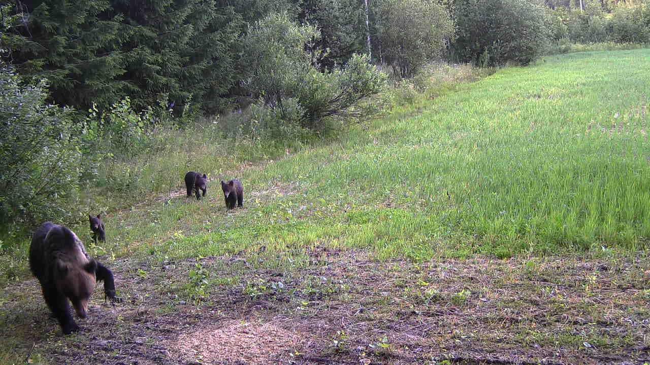 Loukkaantunut emokarhu ja kolme karhunpentoa pellon reunalla.