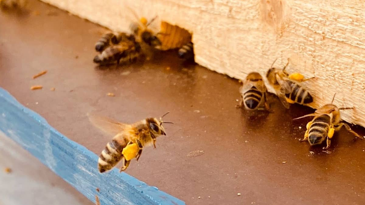 Kuumuus vaikeuttaa tänä kesänä hunajasadon ennustamista