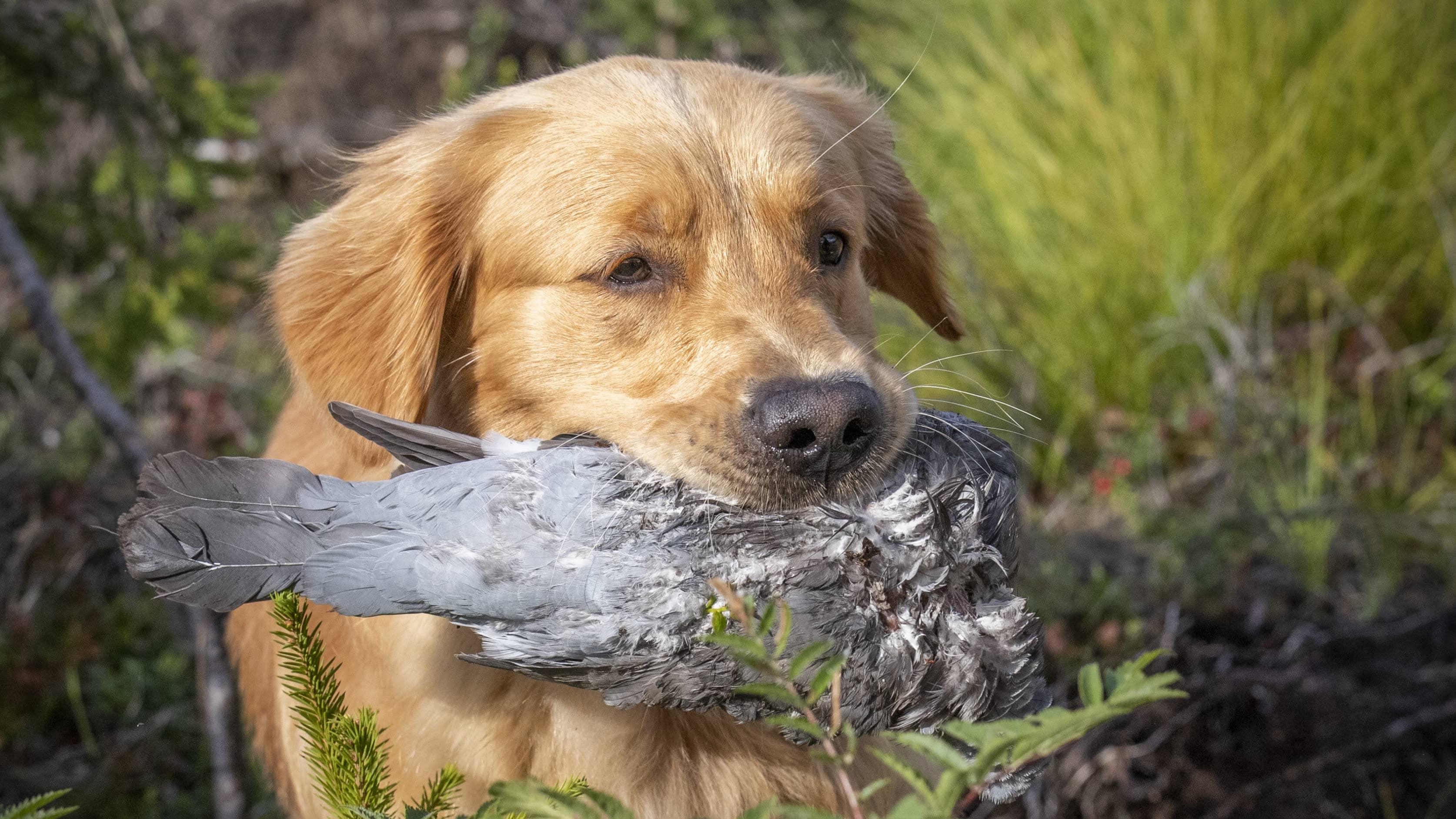 Katso video: Nuori kultainennoutaja Roihu on jo etevä lintujen etsijä.