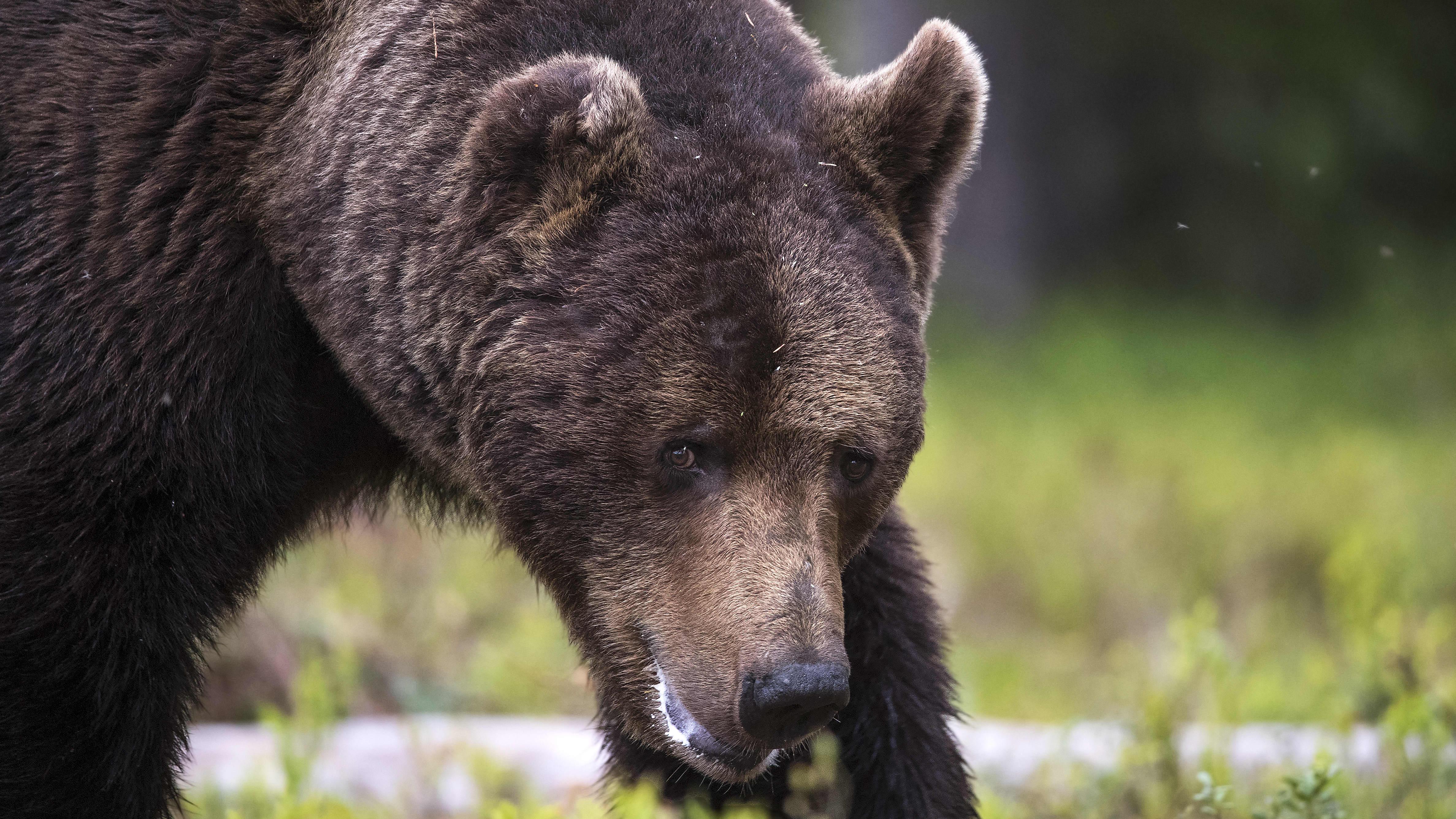 Suuri uros-karhu.