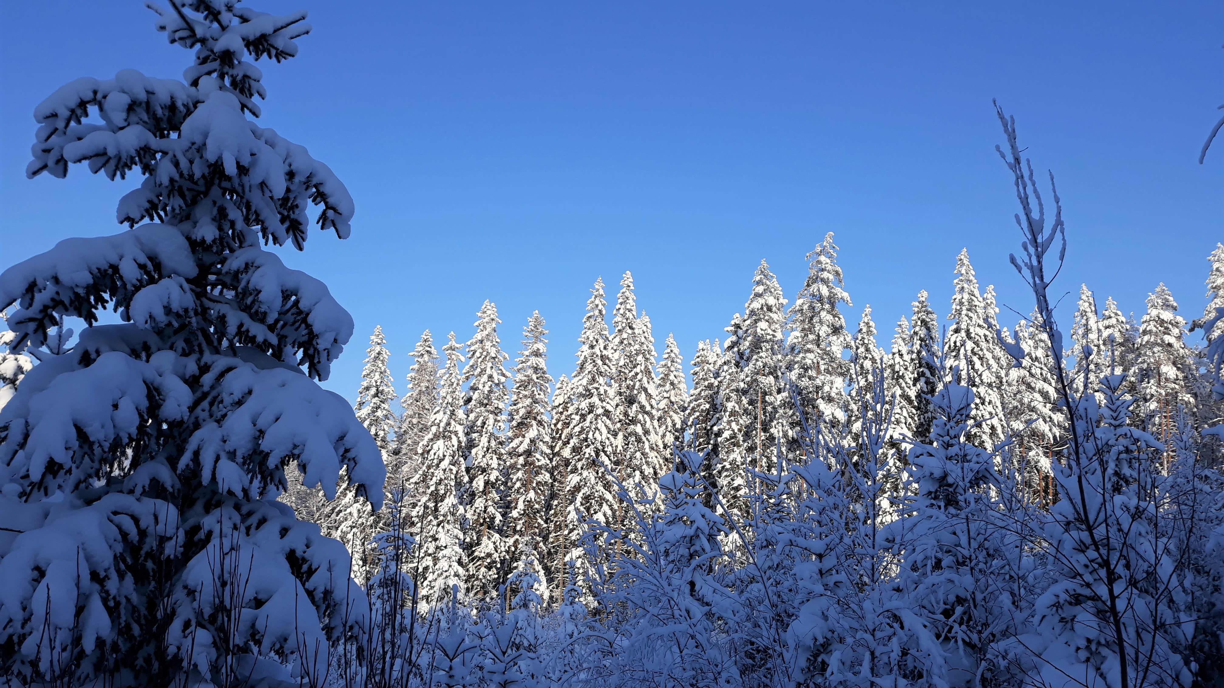 Talvinen metsämaisema aurinkoisena pakkaspäivänä.