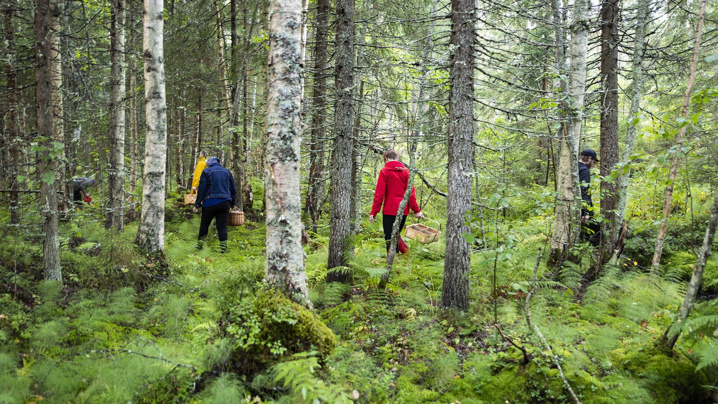 Sieniretkeläisiä metsässä.
