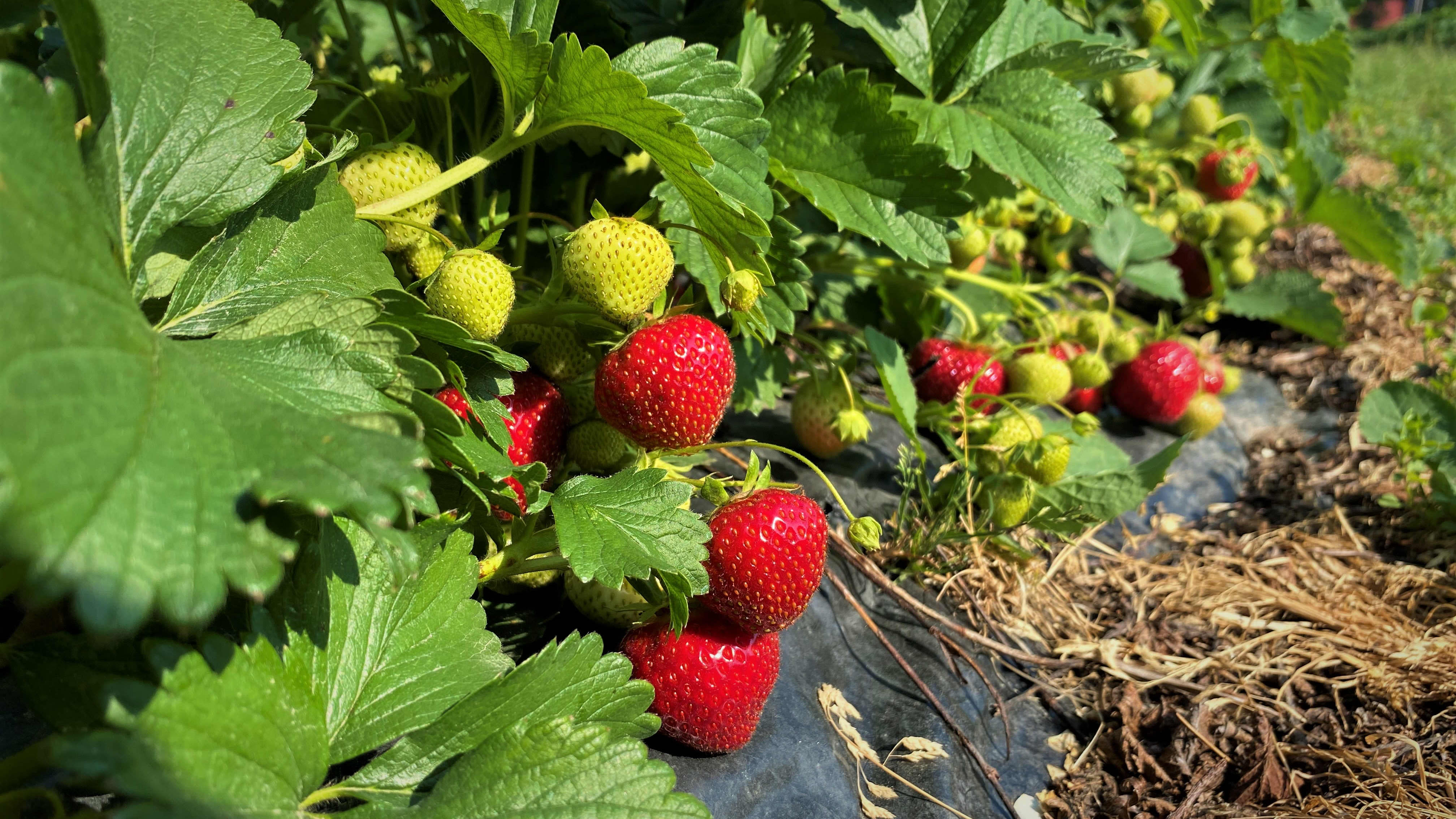 Kypsyneitä ja raakoja mansikoita mansikkapellolla.
