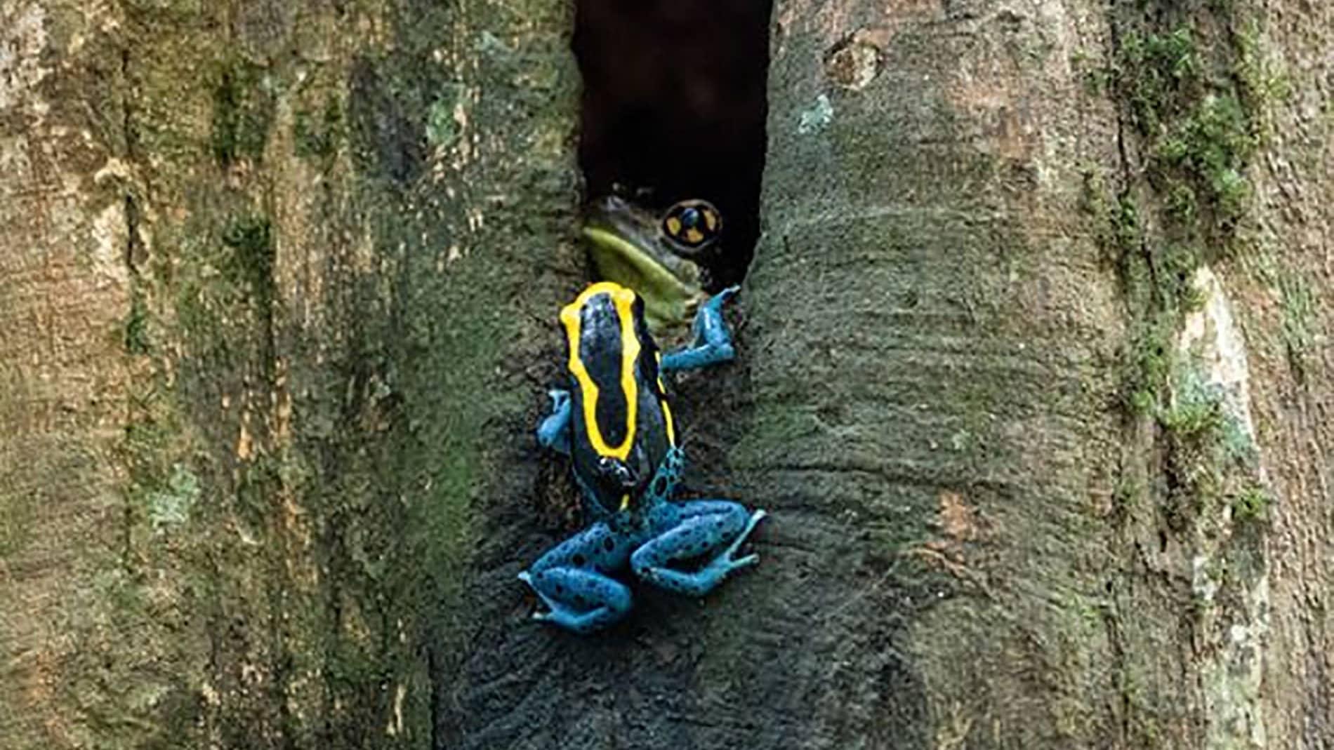 Sammakkokoiras kuljettaa nuijapäitään.