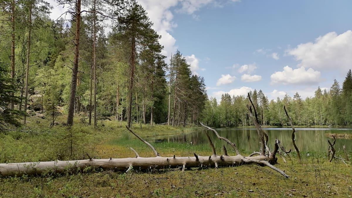 Metsämaisemassa lampi, puita ja etualalla kaatunut kelopuu.
