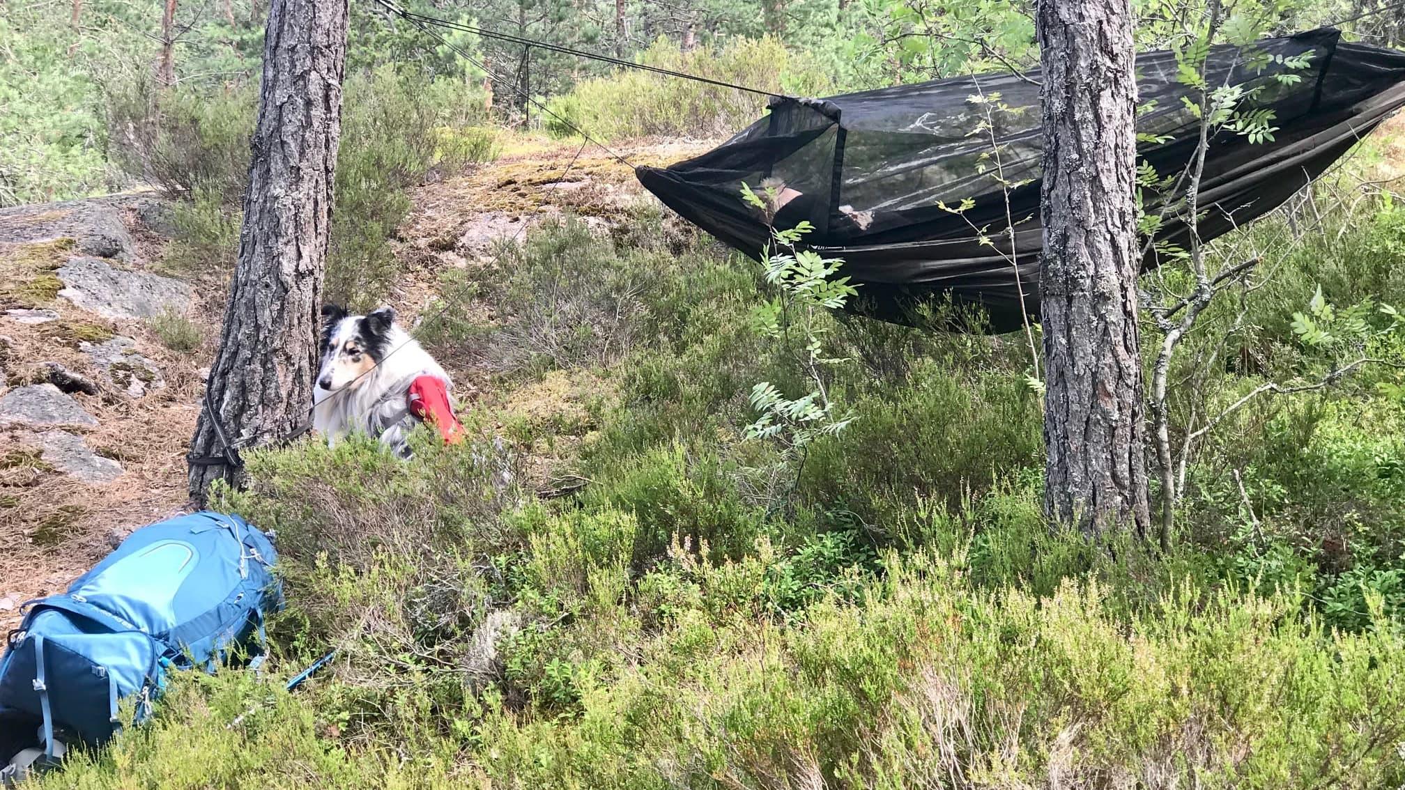 Koira istuu mustikan varpujen seassa ja nainen makaa riippumatossa hyttysverkon alla
