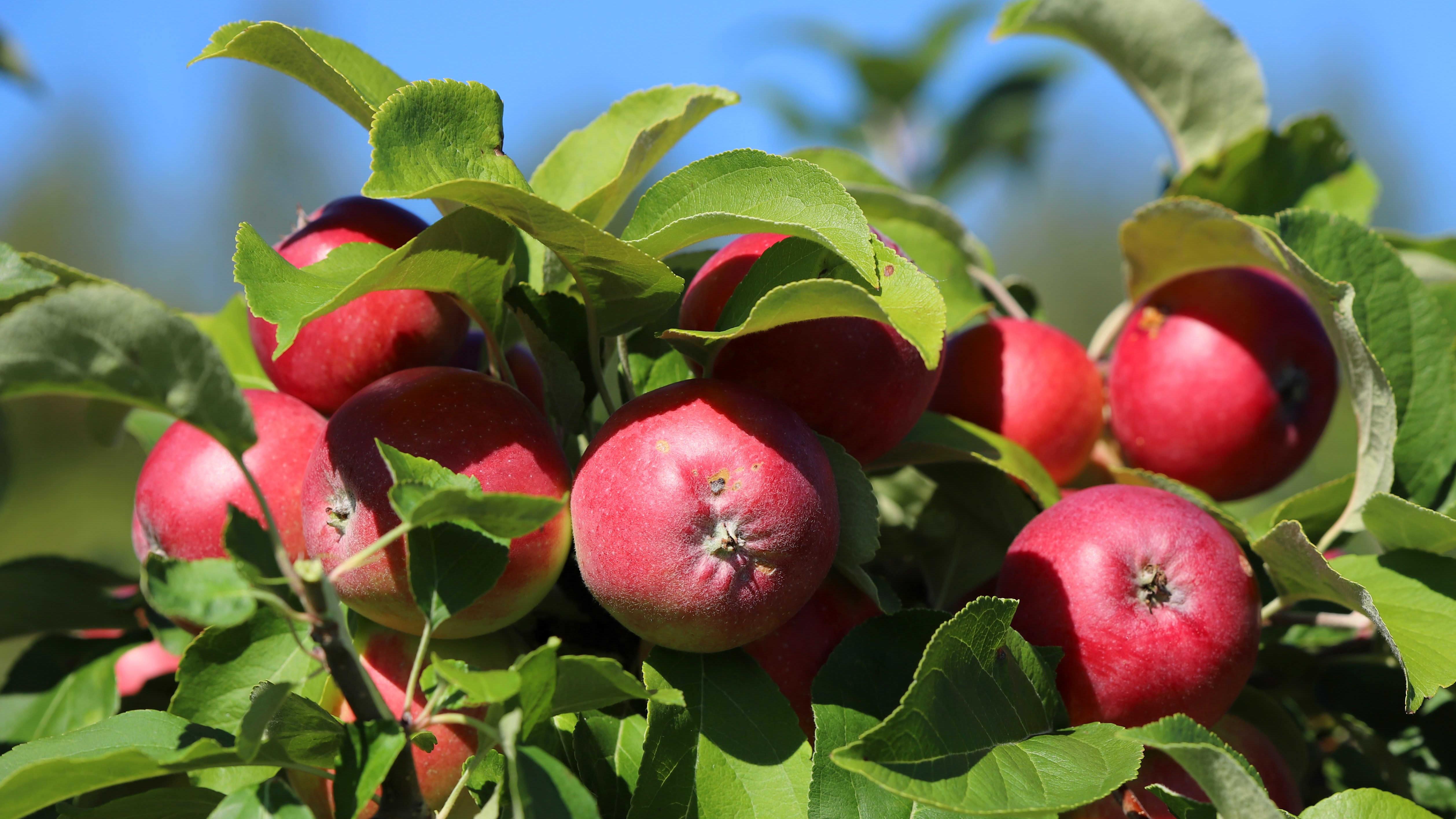 Punaisia omenoita kiinni puussa.