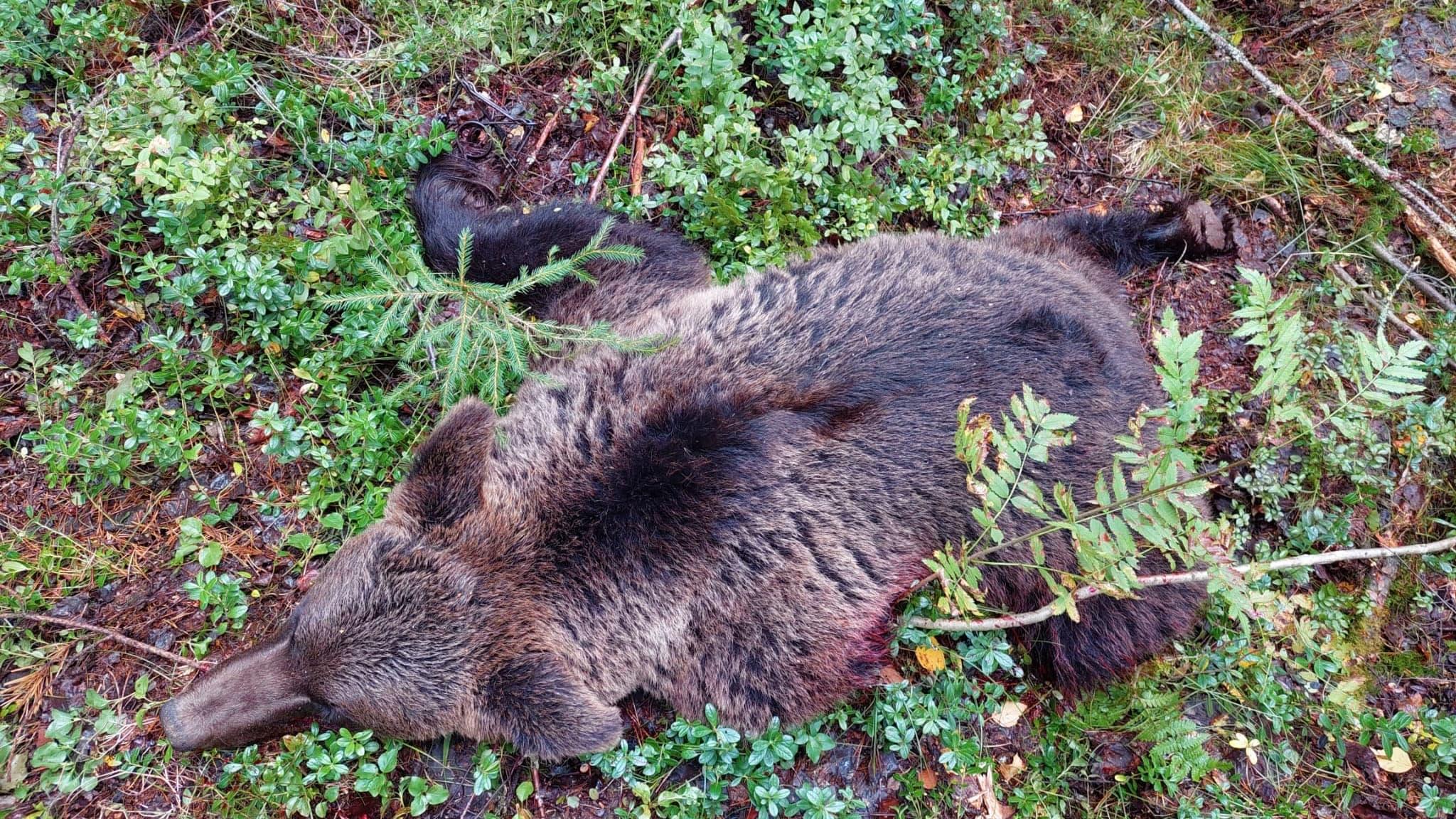 Kaadettu emokarhu metsässä Lieksassa.