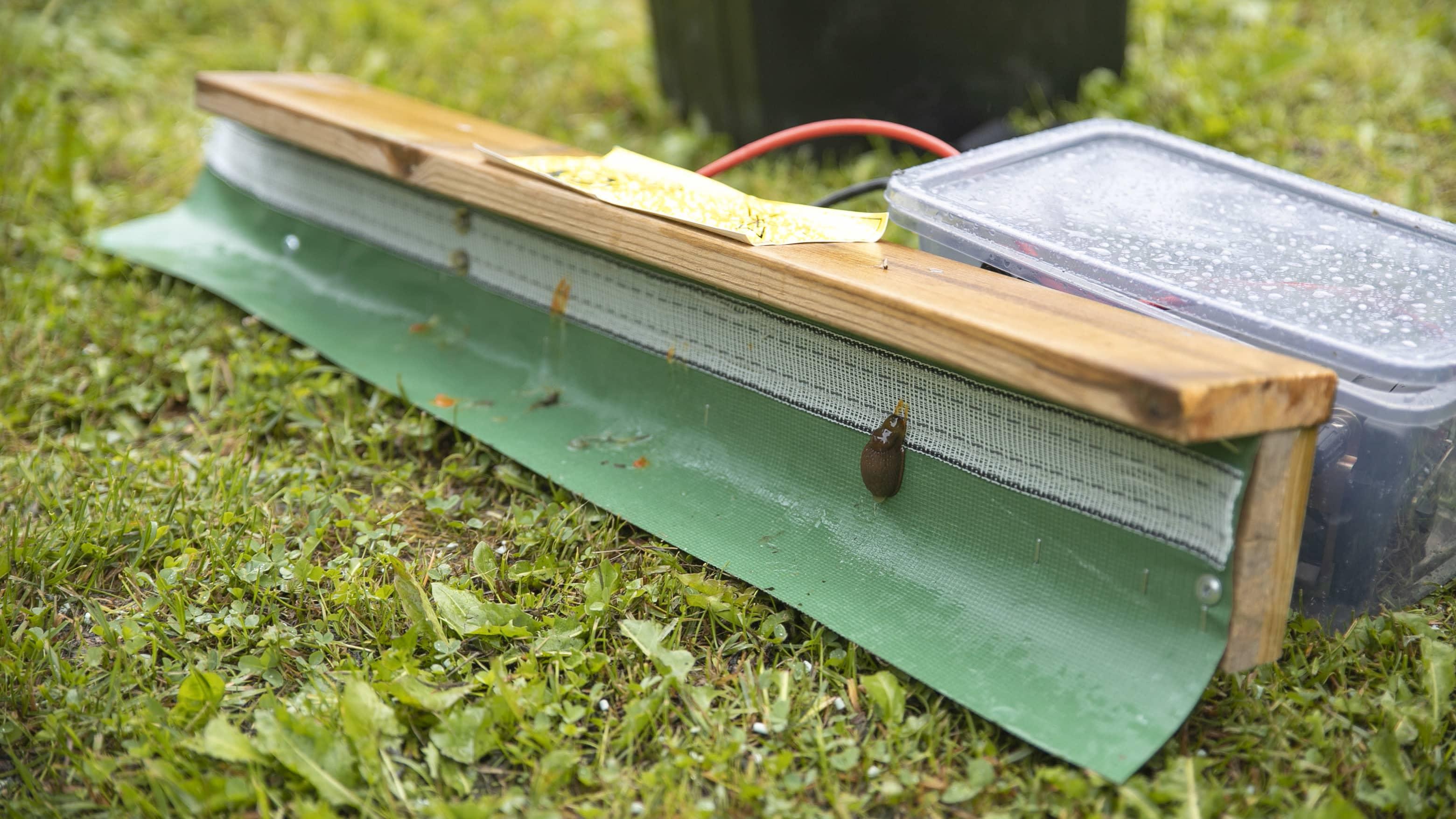 Tappajaetanoiden keräily on toistaiseksi kaupunkilaisten harteilla – katso miten sähköpaimen karkottaa tuholaisen