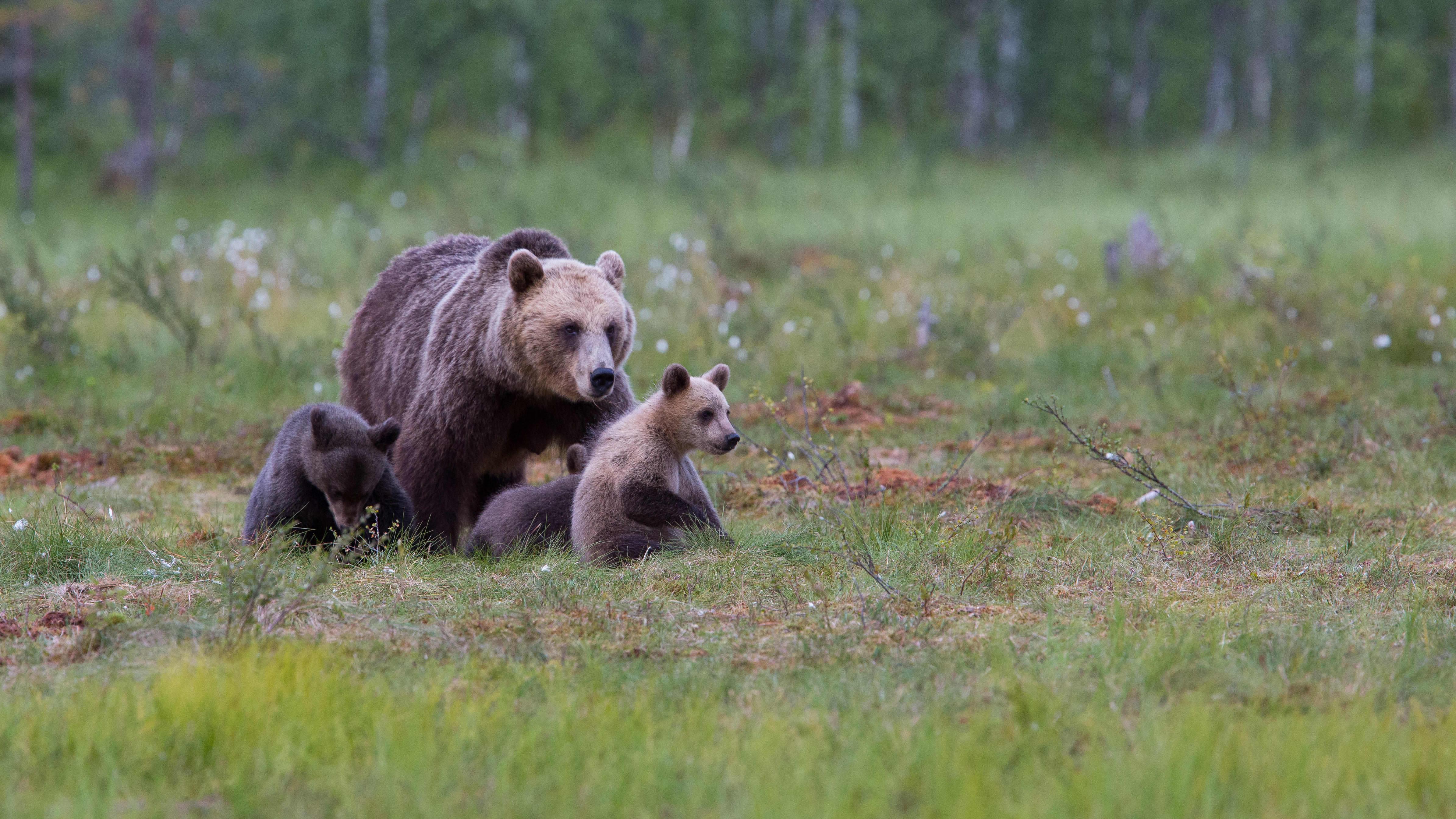 Bild på björnfamilj, karhuemo, pennut