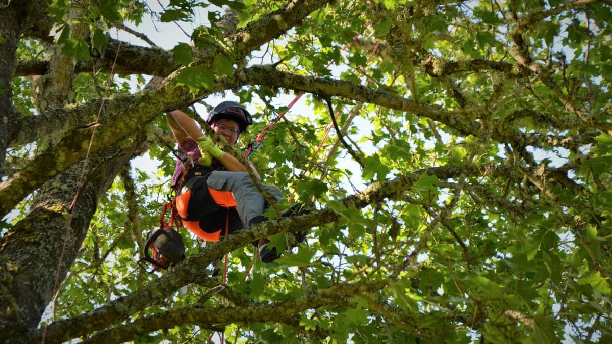 Riitta Hietaharju kiipeilemässä puussa