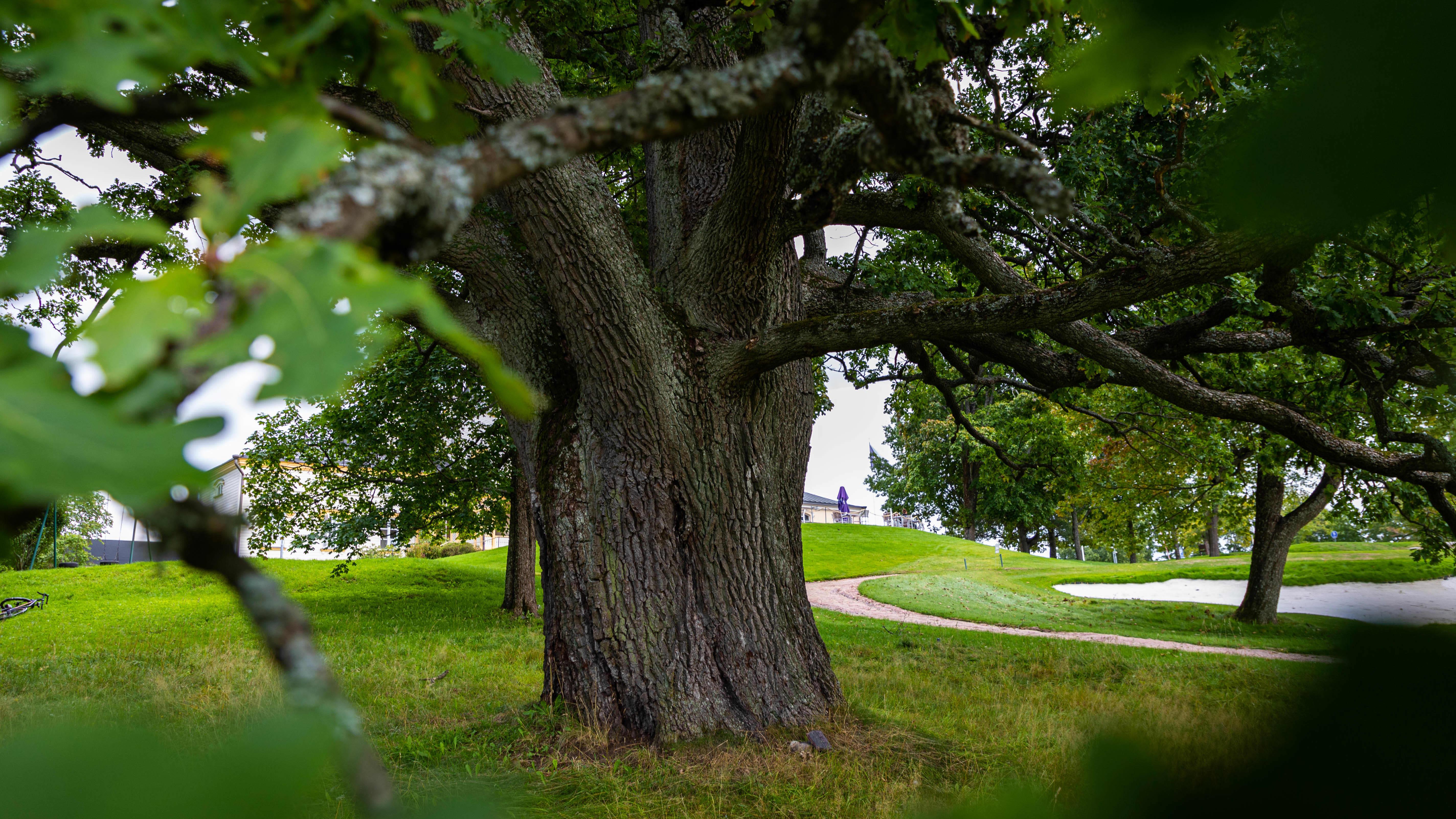 Talin golfkentän kupeessa kasvaa Helsingin paksuin tammi.