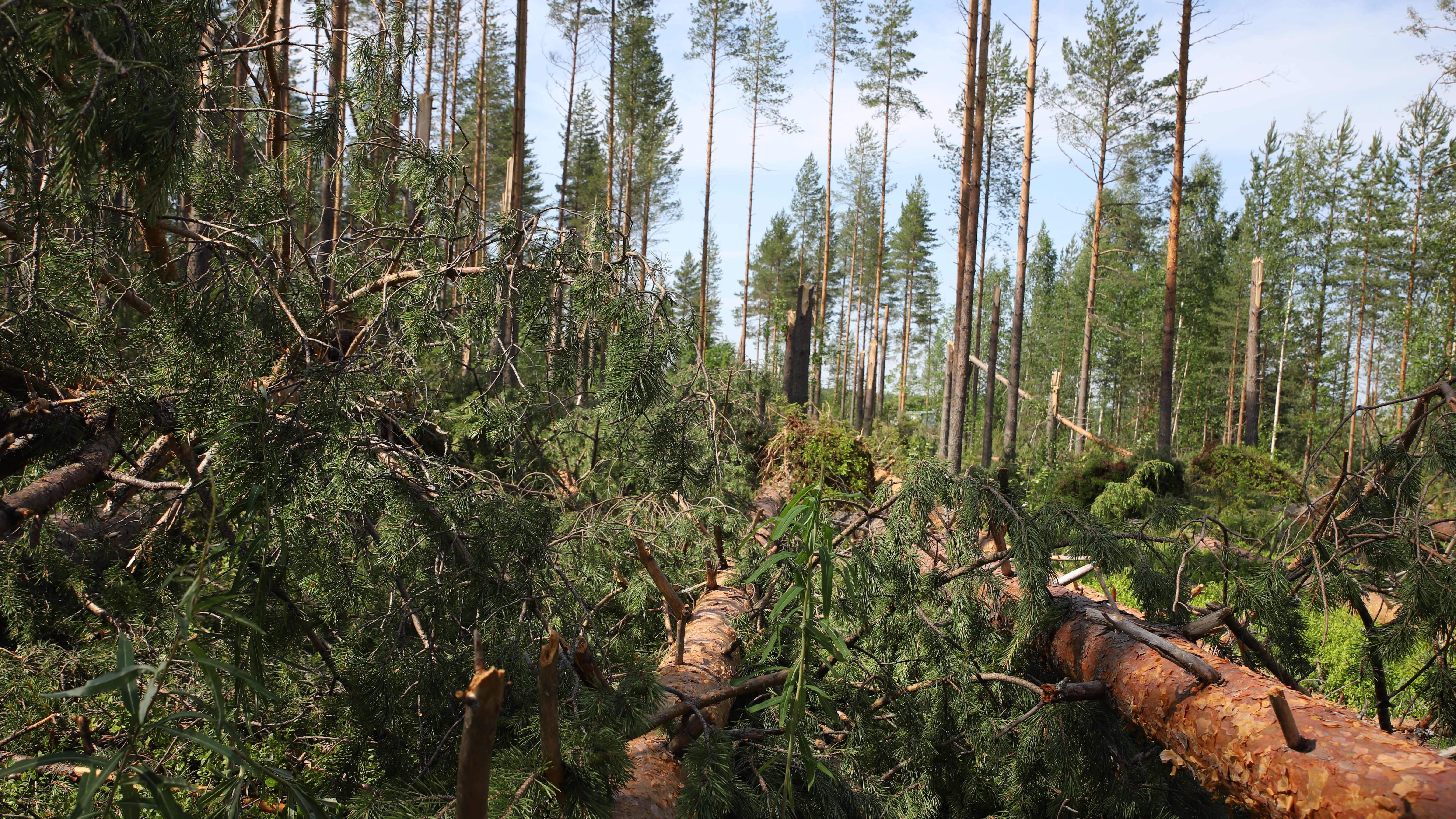 Myrskussä kaatuneita puita.