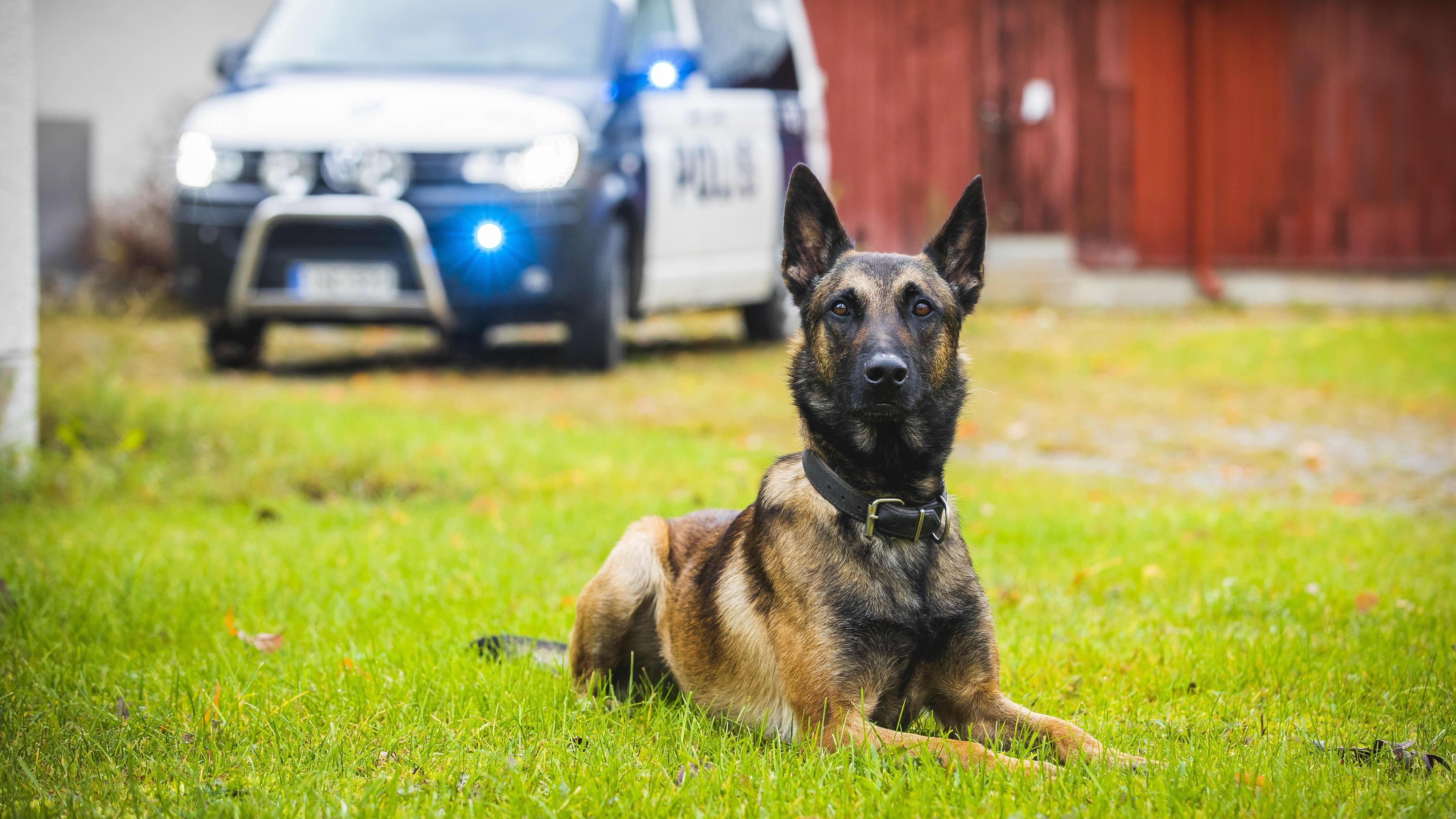 Belgianpaimenkoira malinois Viksu on valittu vuoden 2019 poliisikoiraksi.