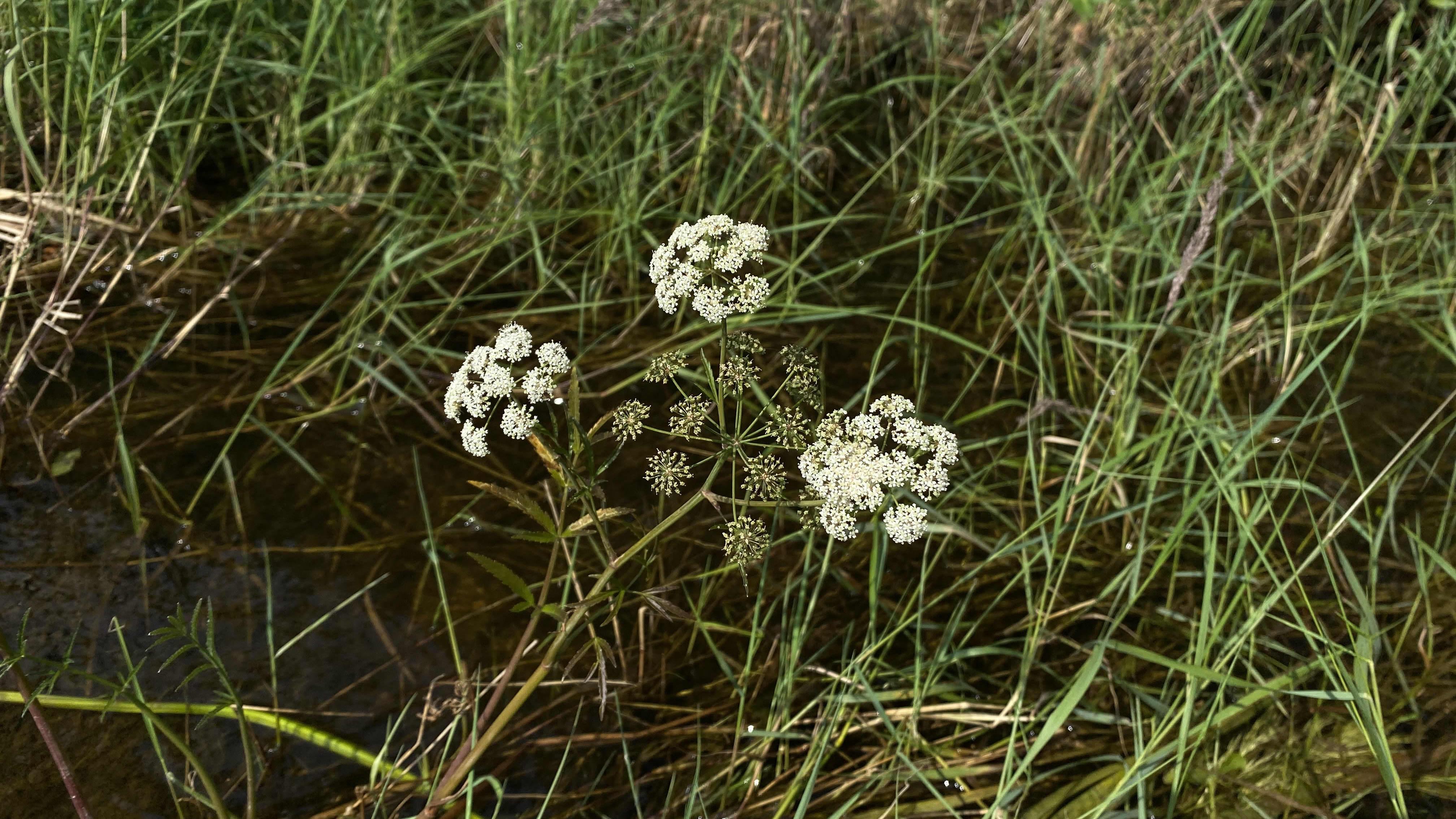 Myrkkykeison kukat muodostavat pallomaisemman kokonaisuuden kuin koiran- tai vuohenputken.
