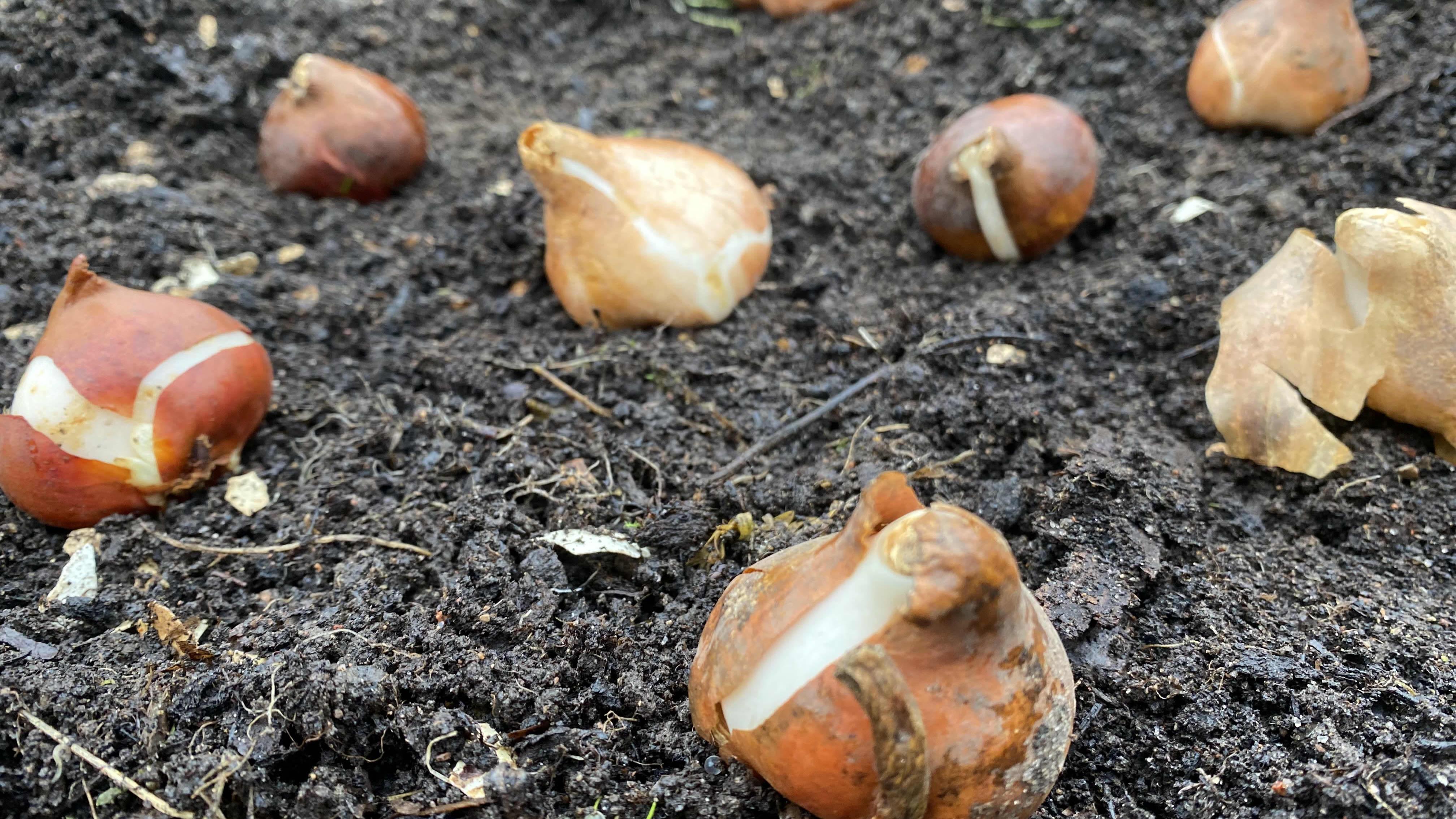 Tulppaanien sipuleita kostean mullan päällä.