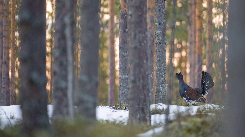 Metso metsässä.