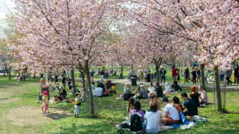 Ihmiset nauttivat aurinkoisesta säästä Roihuvuoren kirsikkapuistossa.. Helsinki. 13.05.2021.