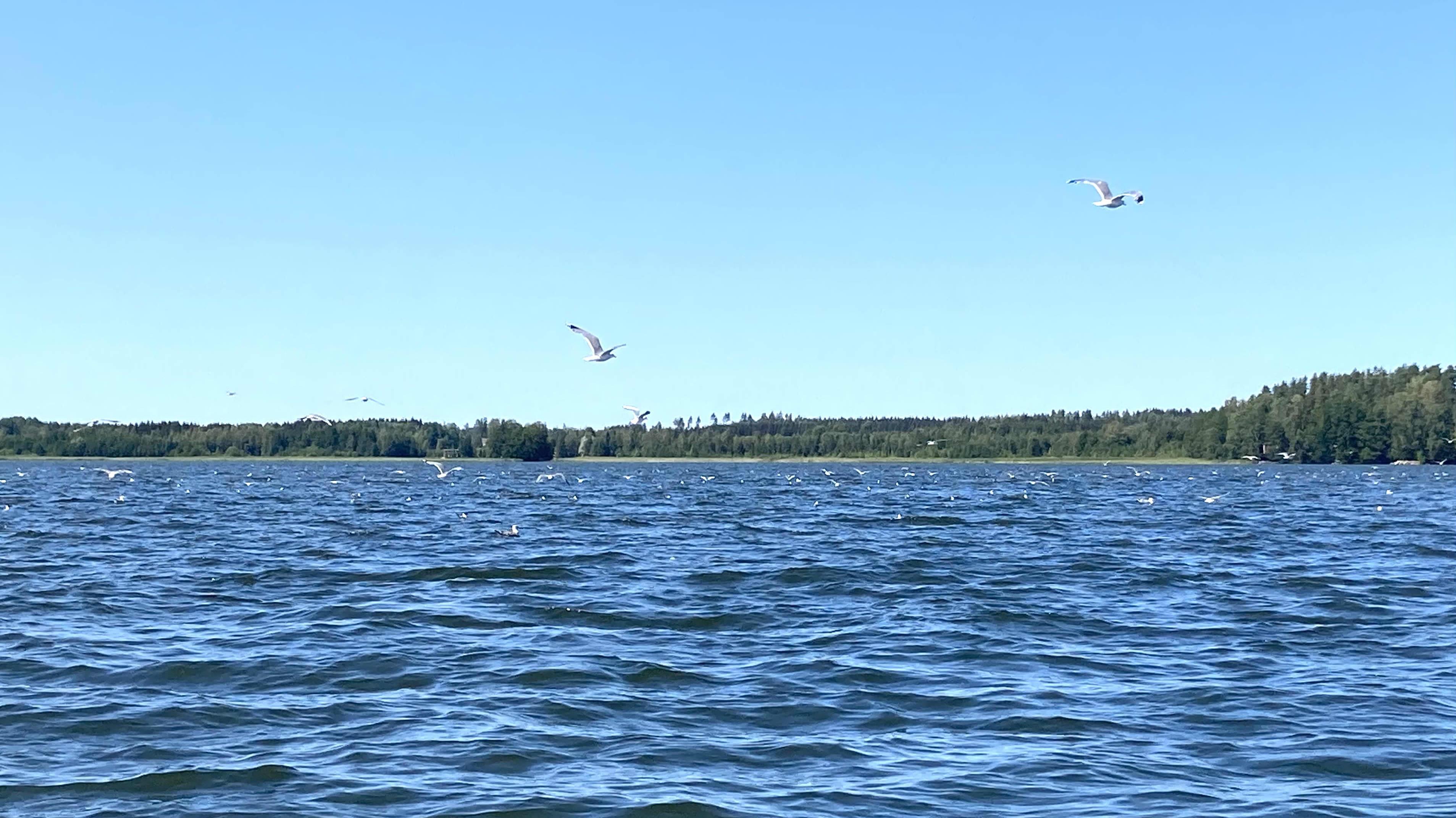 paljon lokkeja sinisellä järvenselällä aurinkoisena päivänä