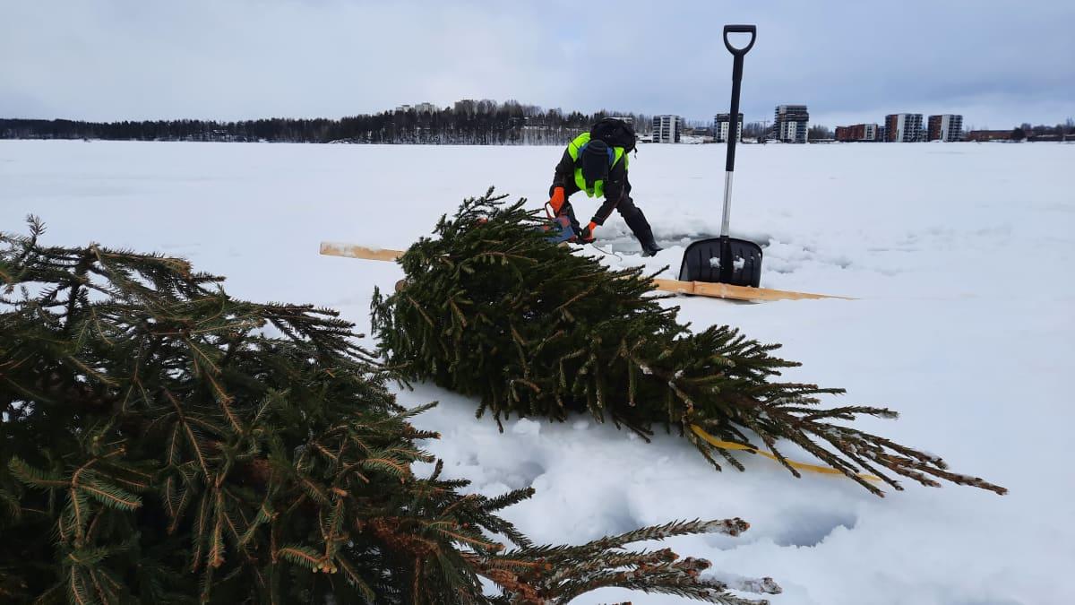 Talkoolainen sahaamassa avantoa joulukuusten upottamista varten Sunisenselällä Saimaalla
