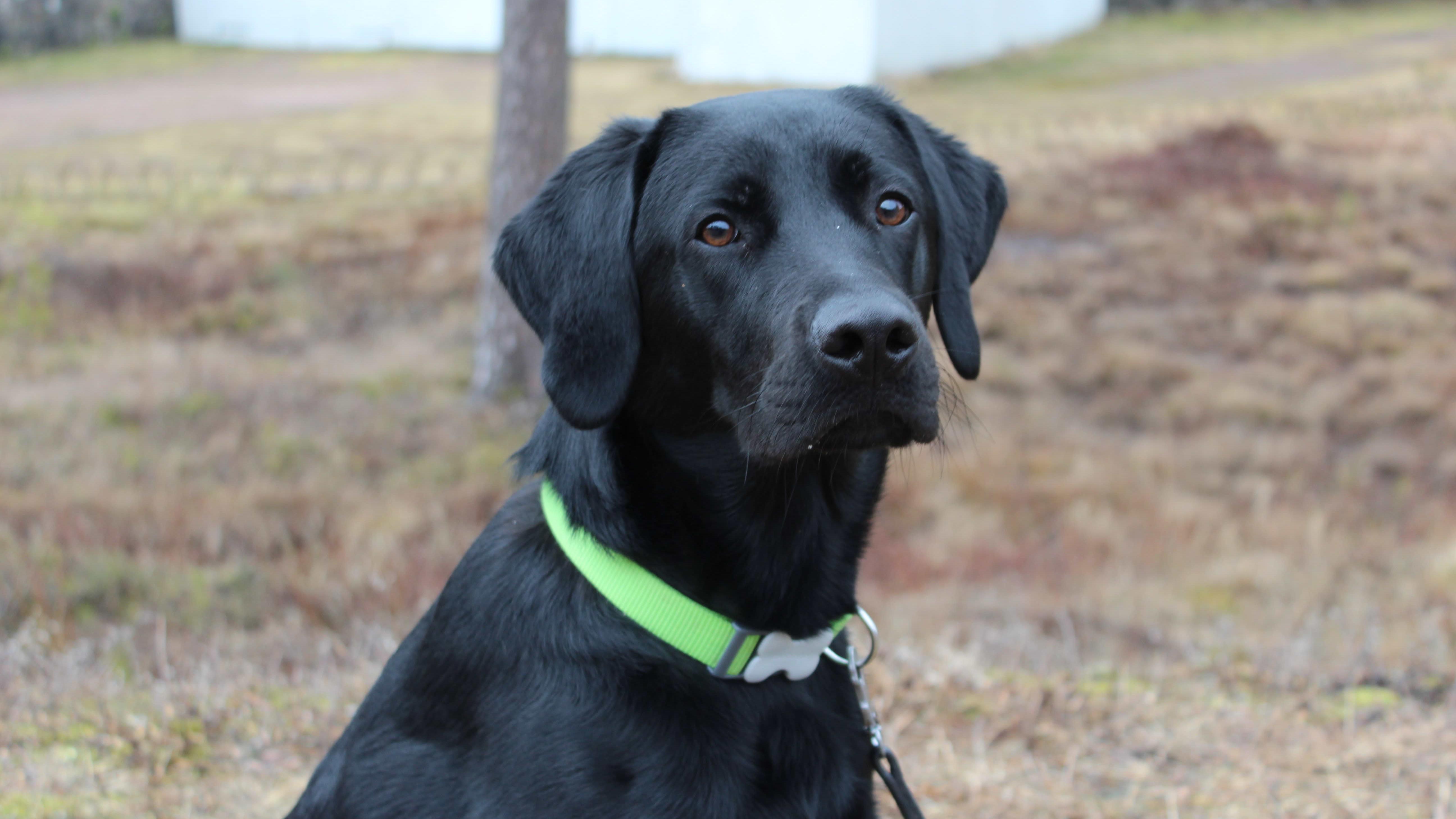 Labradorinnoutaja Kessu
