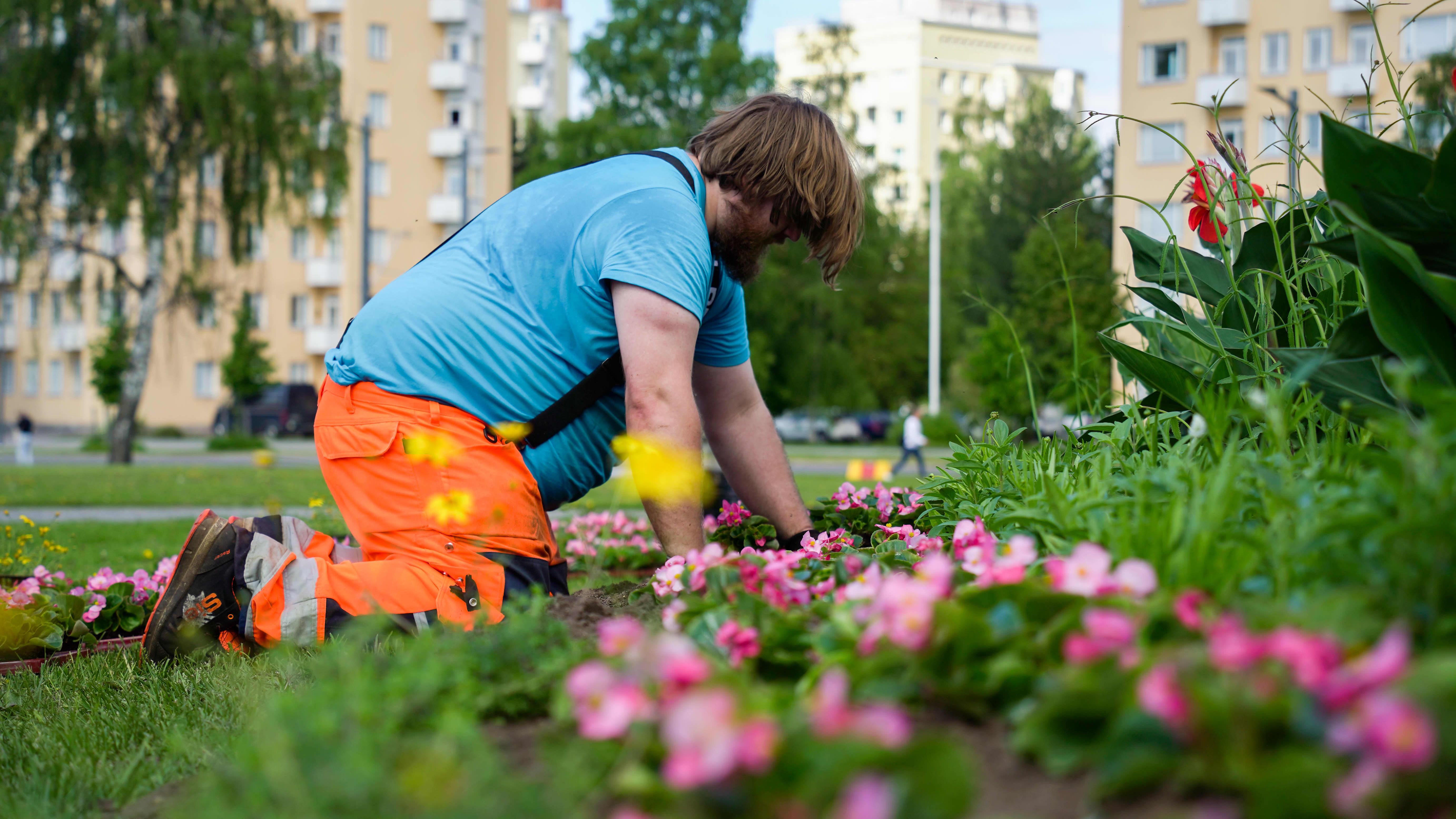 Tampereen Infran puutarhuri Valtteri Saarinen istuttamassa begonioita Liisanpuistoon.