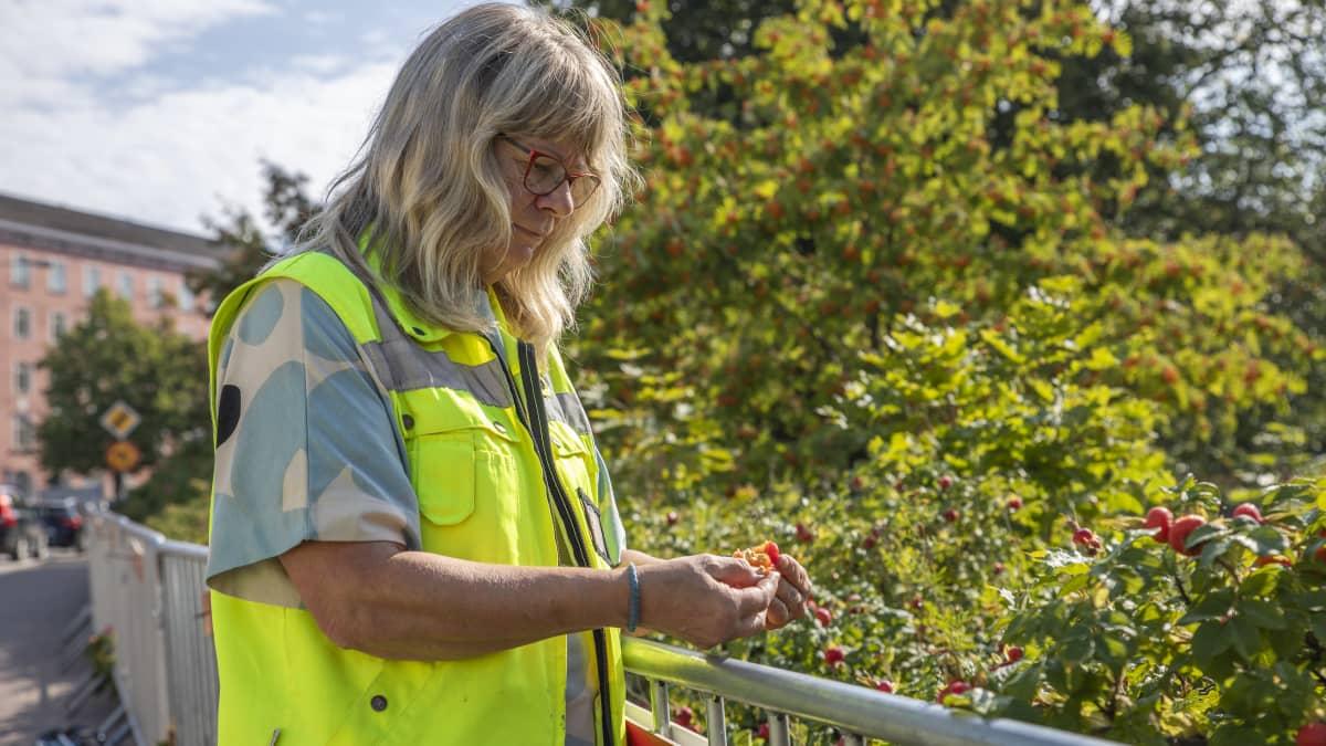 Aikansa trendikasvista tuli vihollinen - puutarhurit paljastavat kurtturuusun hyvät ja huonot ominaisuudet