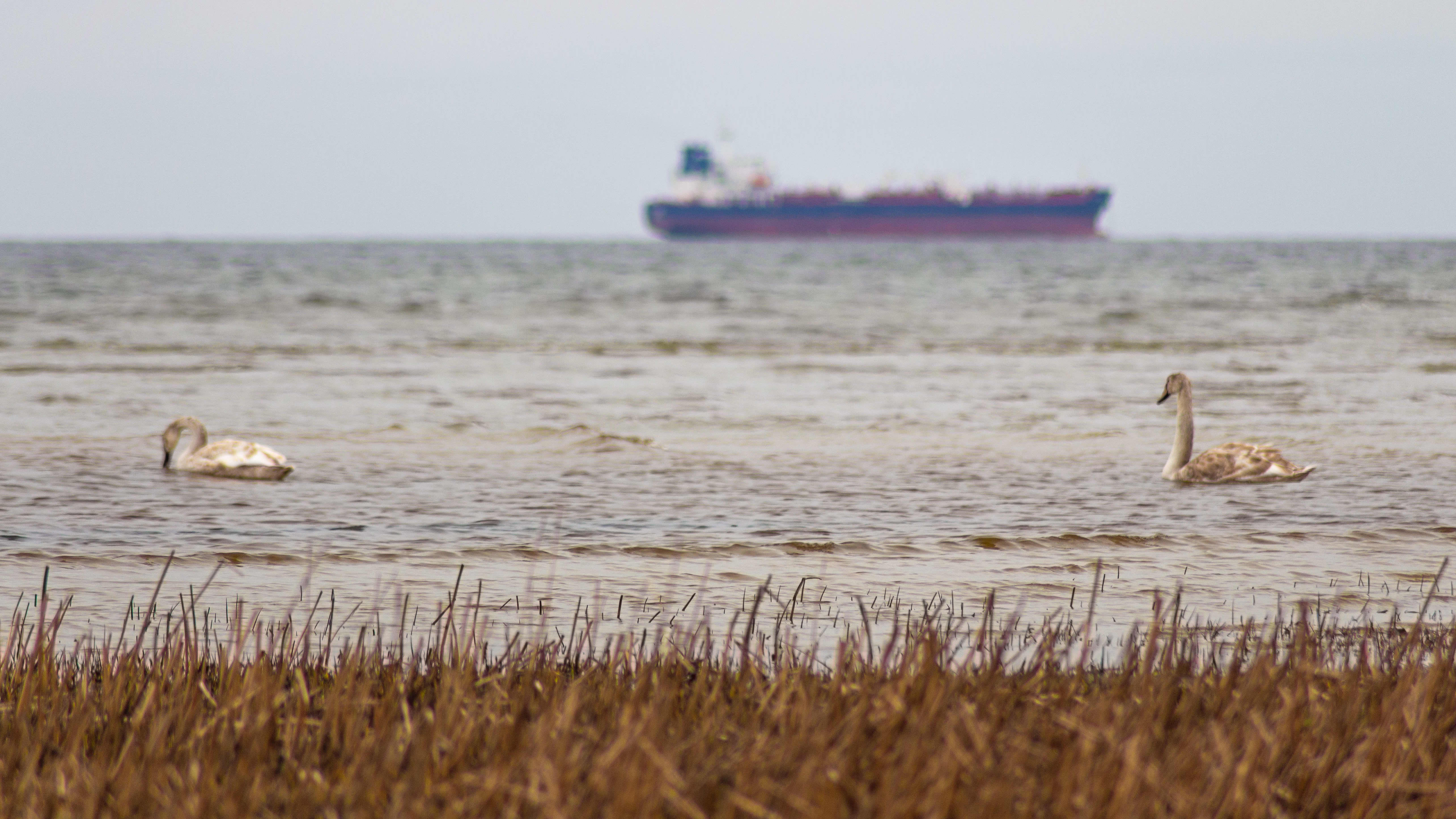 Liberian lipun alla purjehtiva säiliöalus ja joutsenia Tallinnanlahdella.