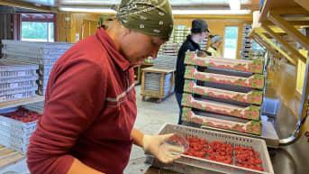 Kausityöntekijät pakkaavat vadelmia rasioihin.