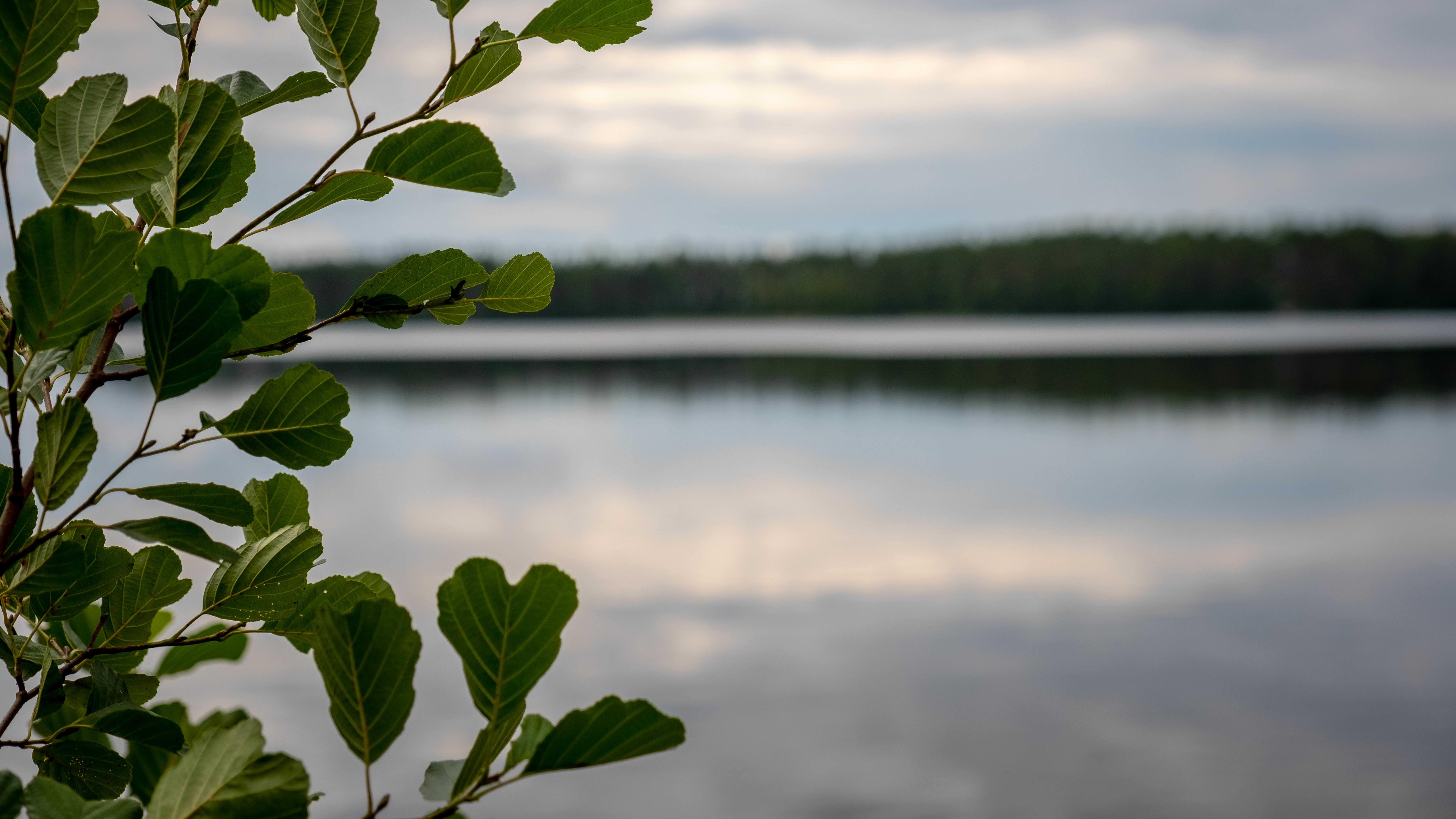 Peilityyni järvi, etualalla lehtipuu, leppä.