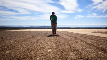 Työntekijä haravoi maassa kuivatettavia kahvipapuja.