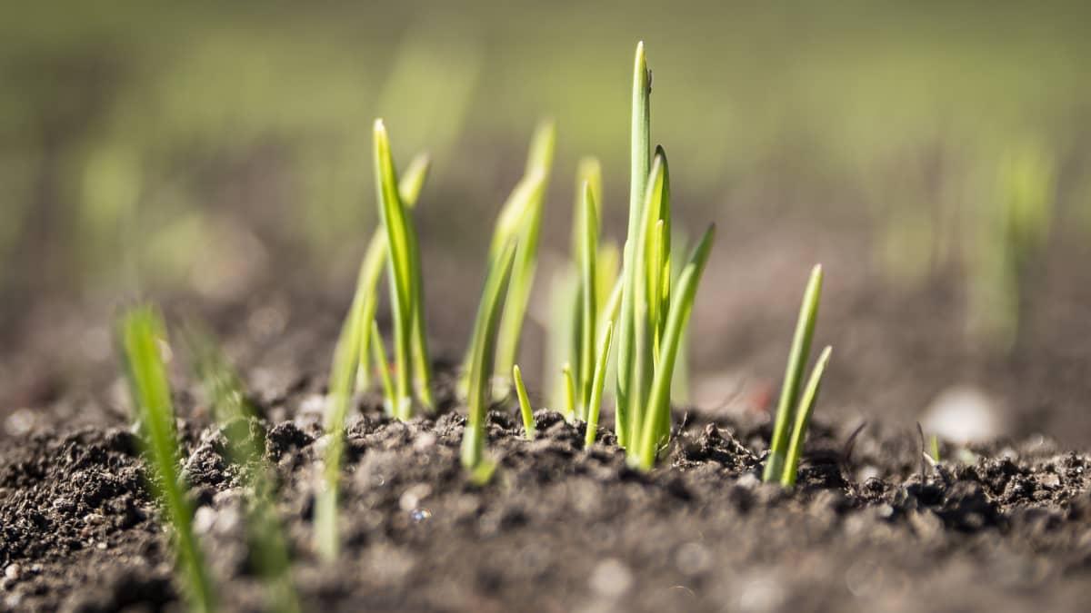 Elintarvikekauran viljely on kovassa kasvussa - viljelijöitä tarvitaan lisää