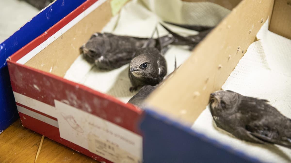 Helle ajoi tervapääskyt pakosalle kuumista pesistä - Pyhtään lintuhoitolassa jo 23 poikasta