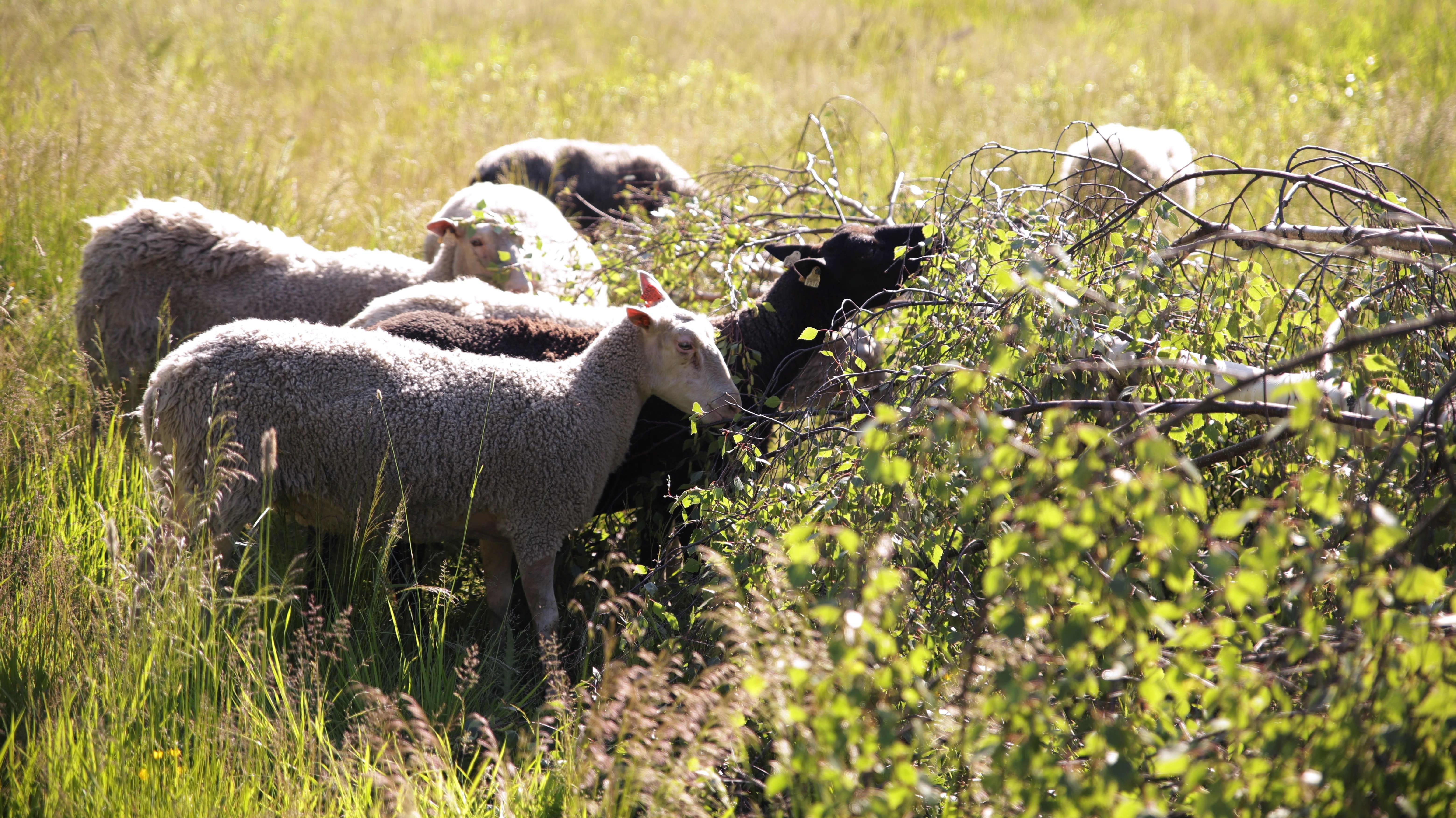 Lampaat syövät kaatuneen koivun lehtiä