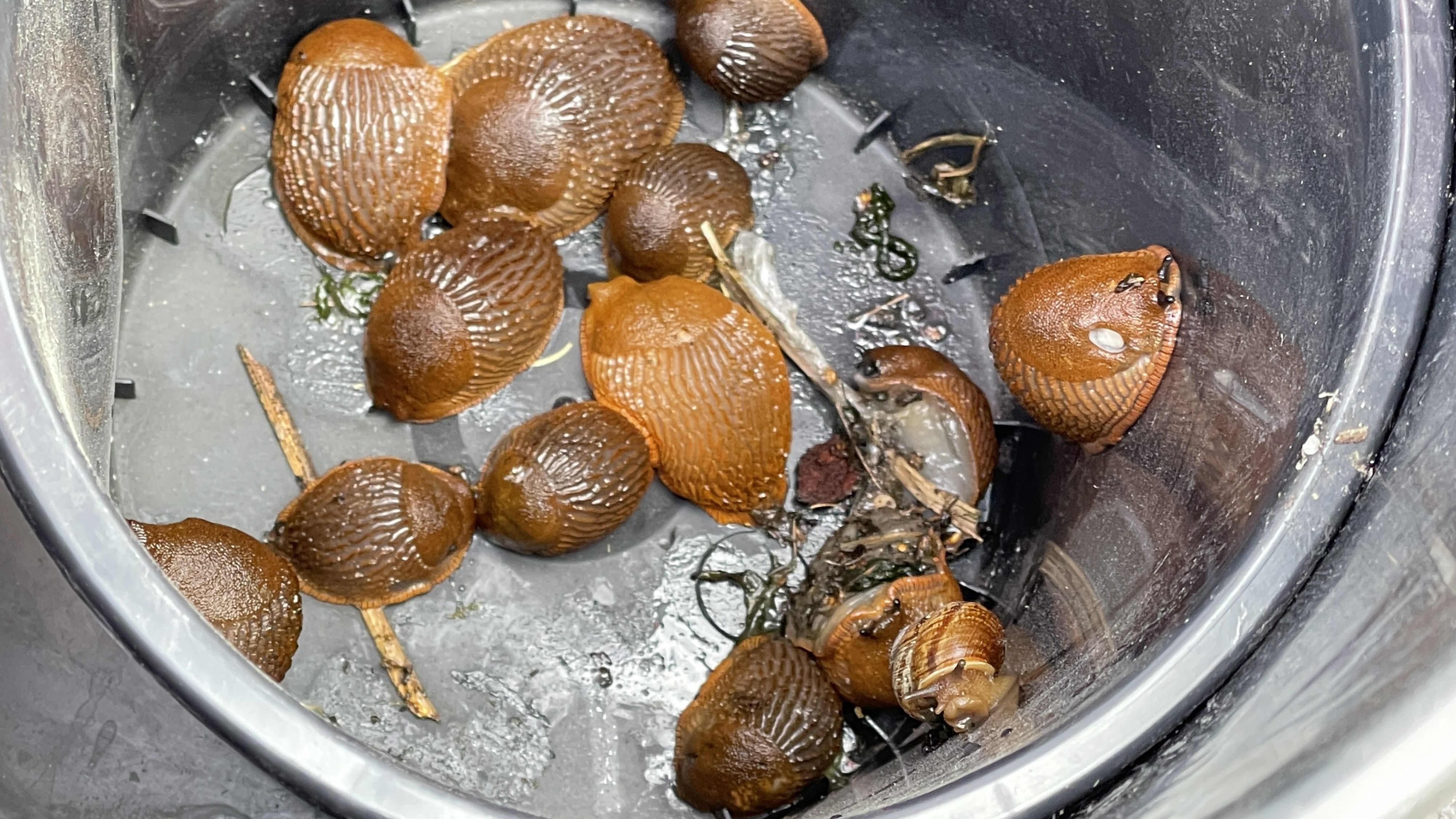 Espanjansiruetanoita löydettiin Kajaanin Petäisenniskasta