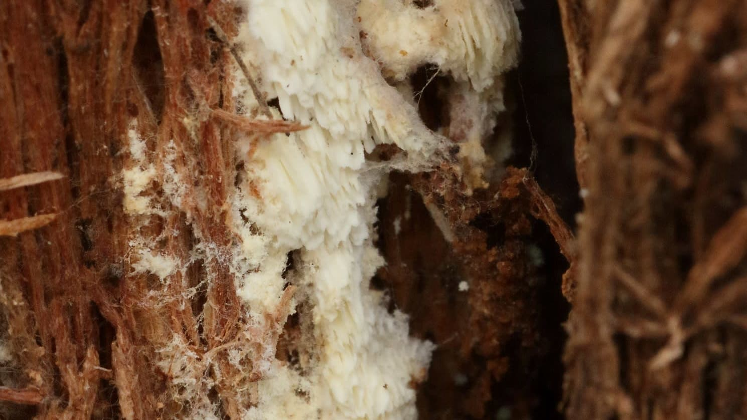 Loukkokääpä kasvaa kuolleella puuaineksella