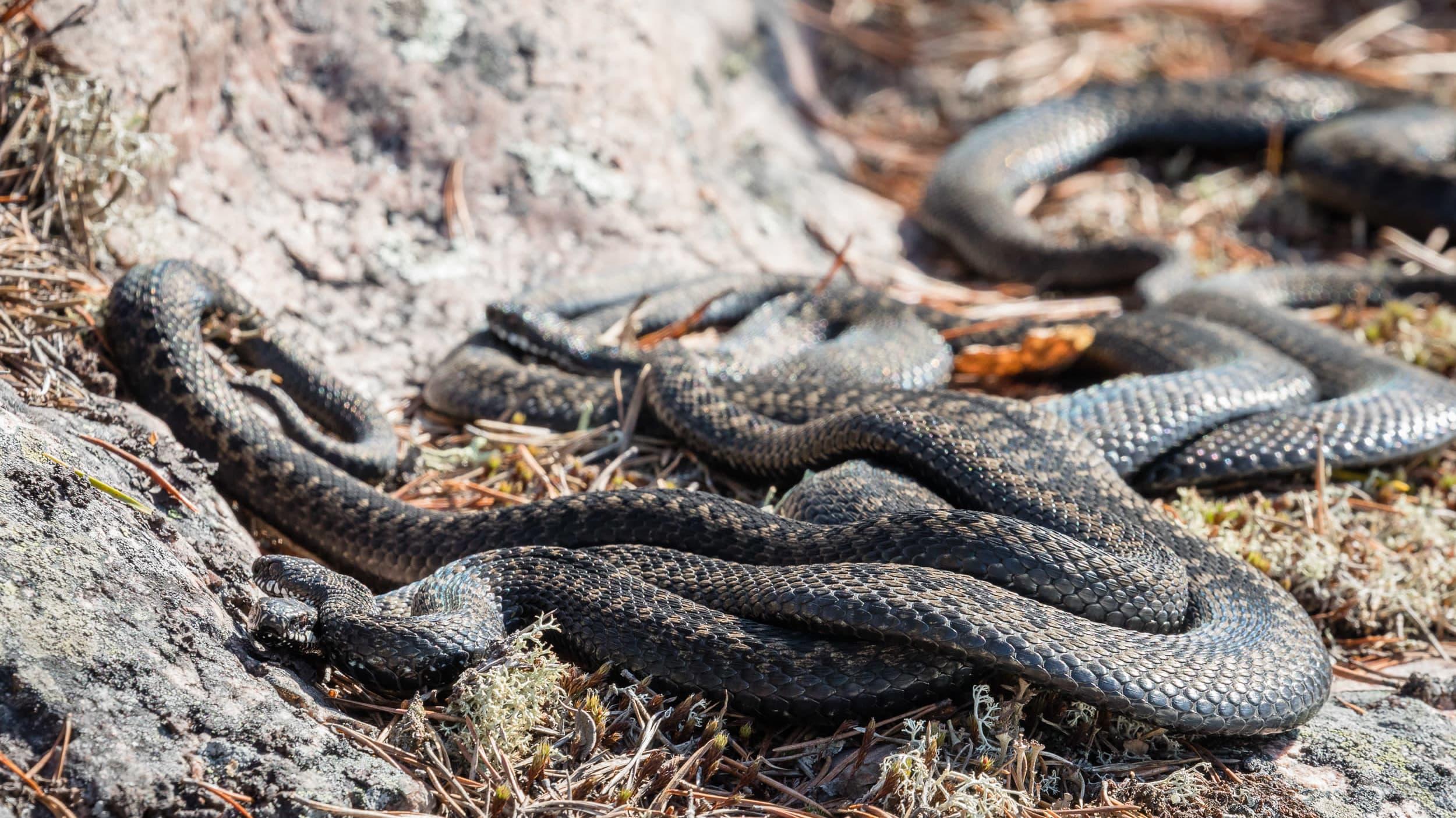 Kyykäärmeet keräävät auringon lämpöä jo Lapissa asti